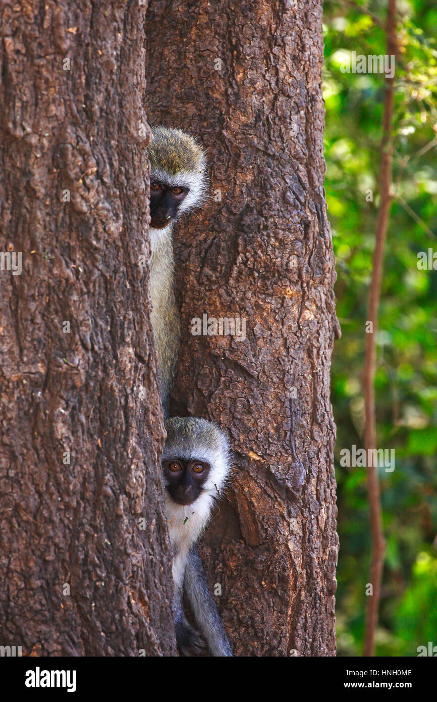 Vervet monkey (Chlorocebus pygerythrus) sitting between tree trunks, Lake Manyara National Park, Tanzania - Stock Image