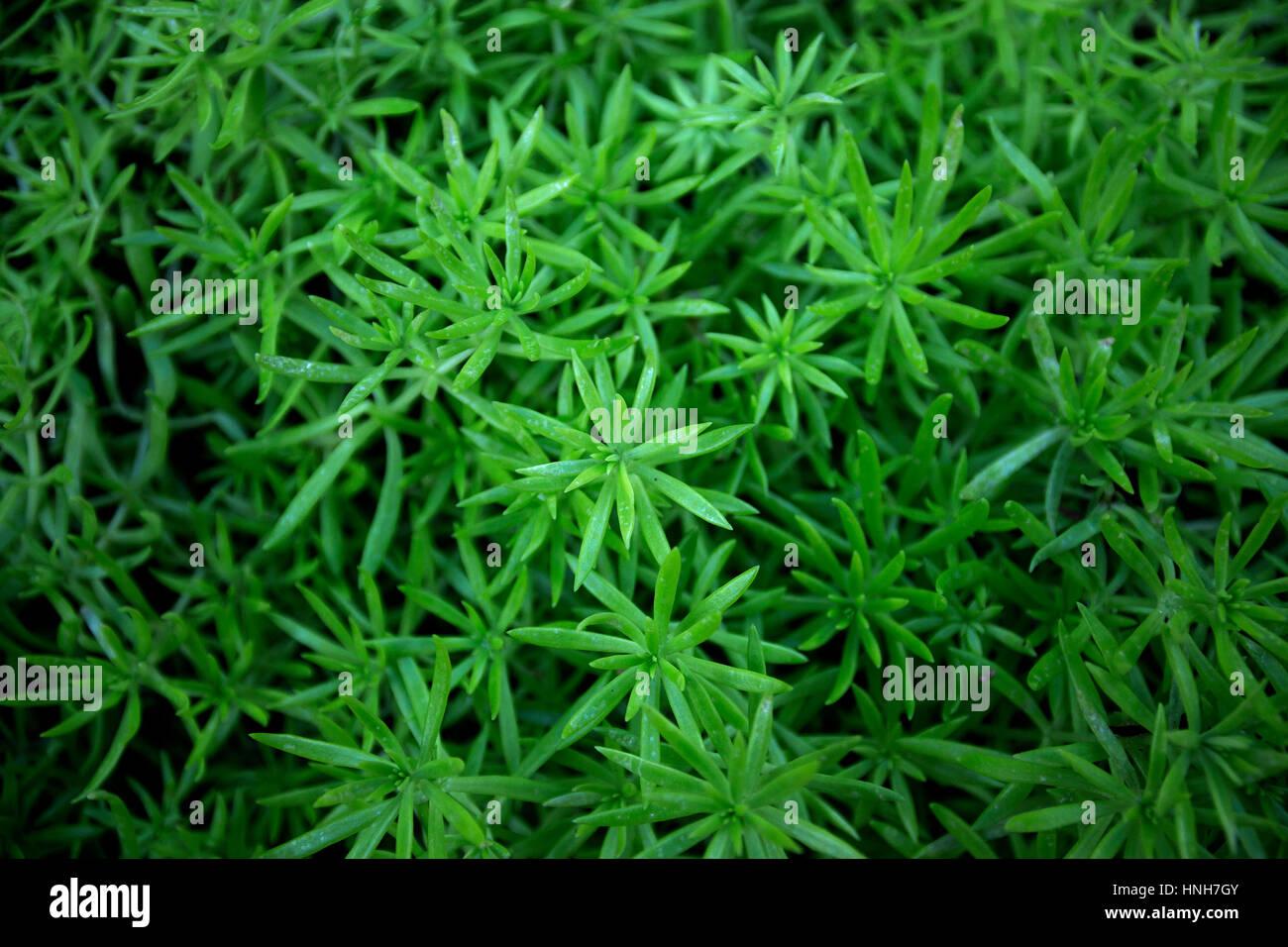 Close Up Of Greenery Sedum Flower Nature Greenery