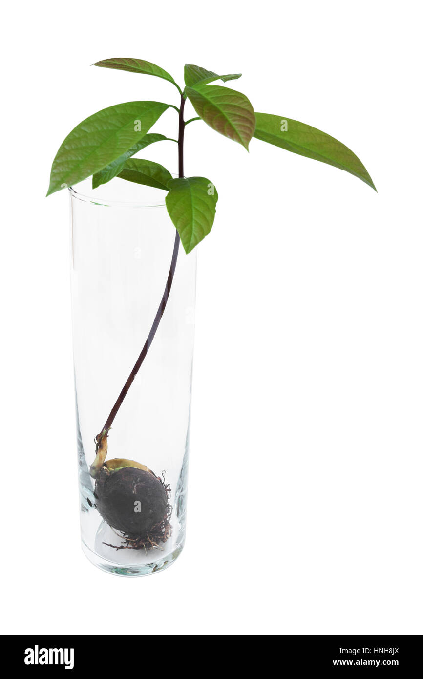 avocado seed growing in a glass cup with water roots plant and stock photo 133760338 alamy. Black Bedroom Furniture Sets. Home Design Ideas