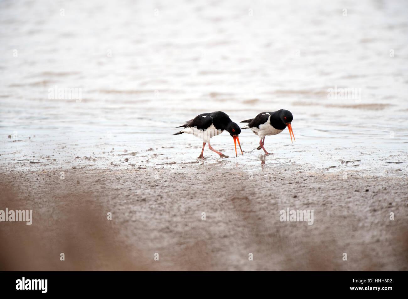 Oystercatcher mating dance. Haematopus ostralegus. 1 of 6 images - Stock Image