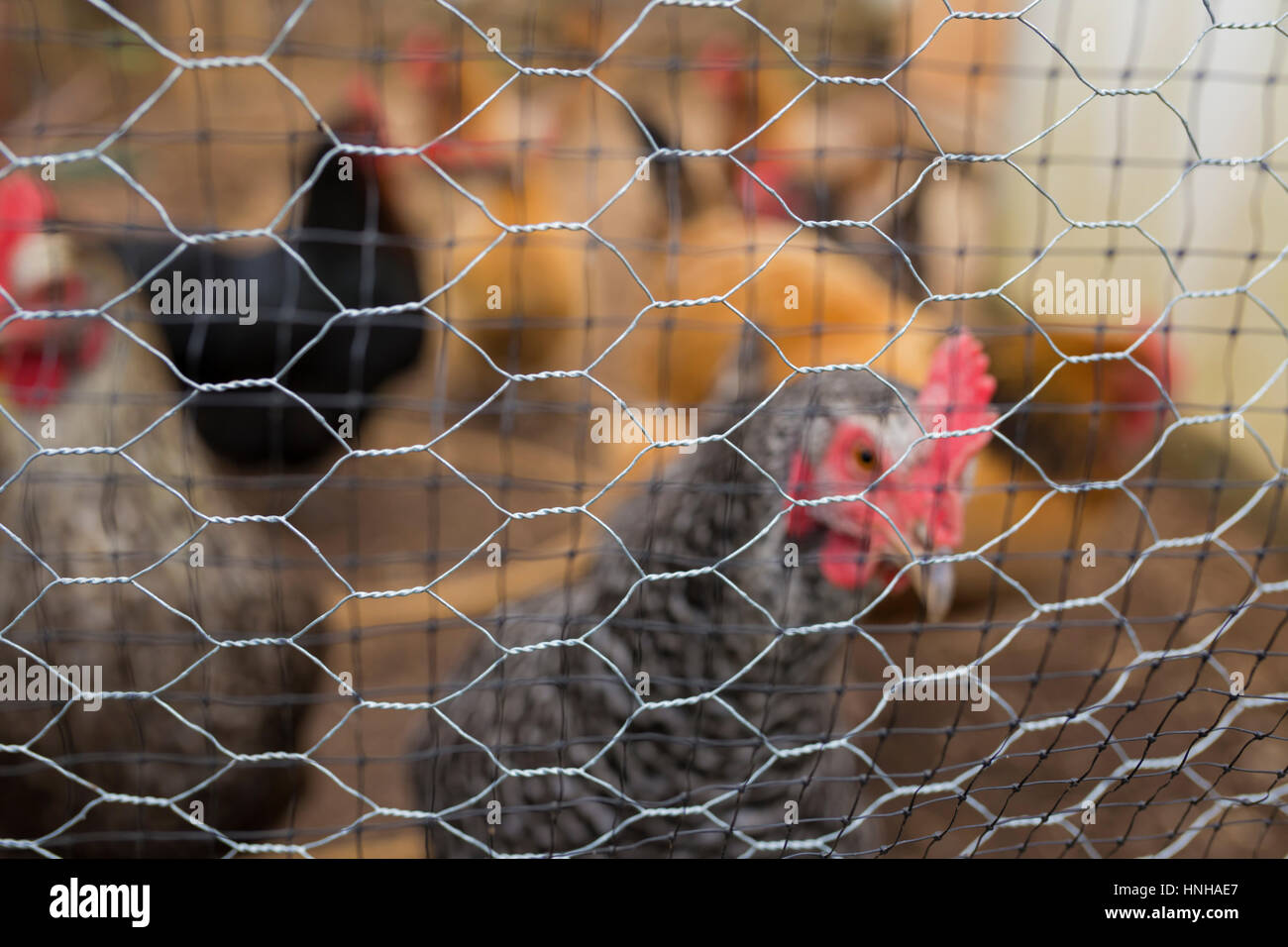 Normally free range chickens held in isolation as a safeguard during an outbreak of H5N8 bird flu in the Uk during - Stock Image