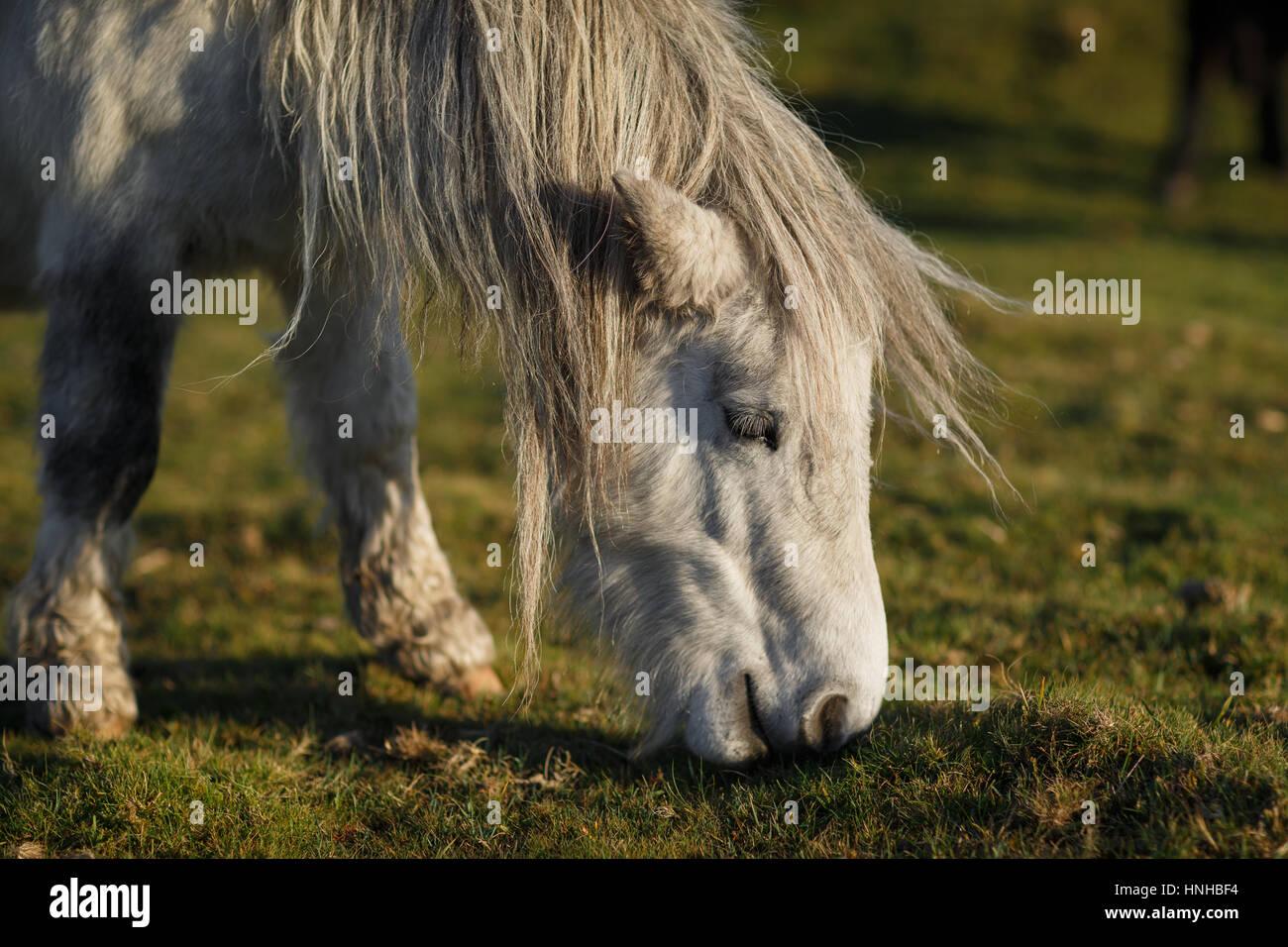 Dartmoor Pony - Stock Image