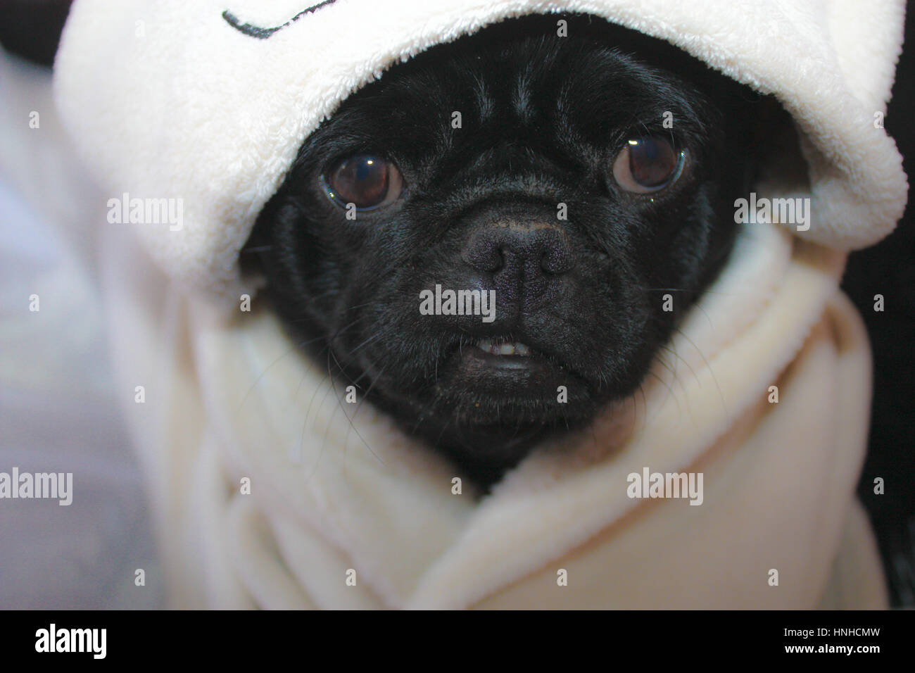 Snug as a pug a selection of images of a black pug looking very cute. Taken front facing Pug in various poses. With - Stock Image
