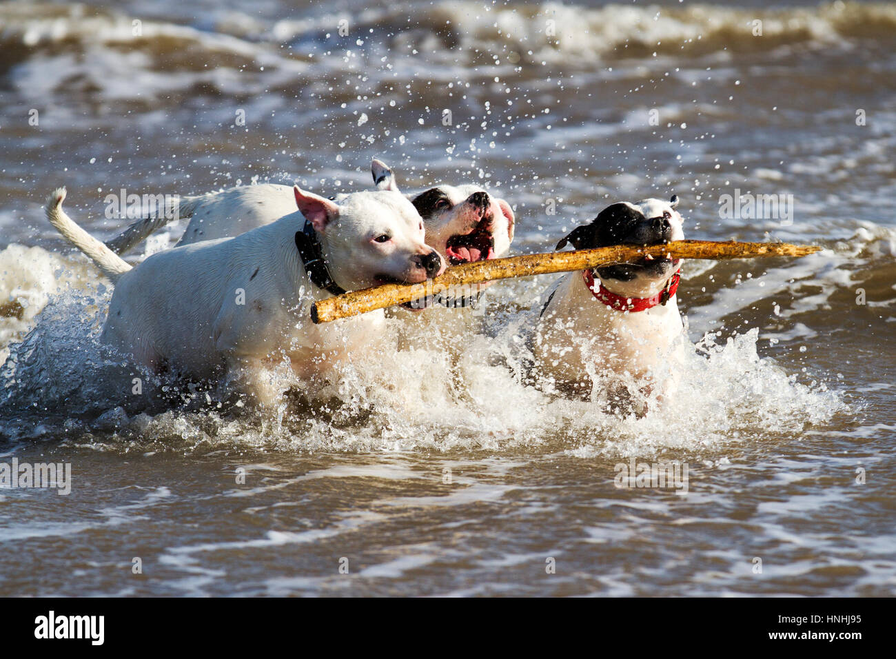 Dog plays on the beach, New Brighton, Cheshire, UK.  13th Feb 2017.  Staffies 'Blue', 'Cloud' & - Stock Image
