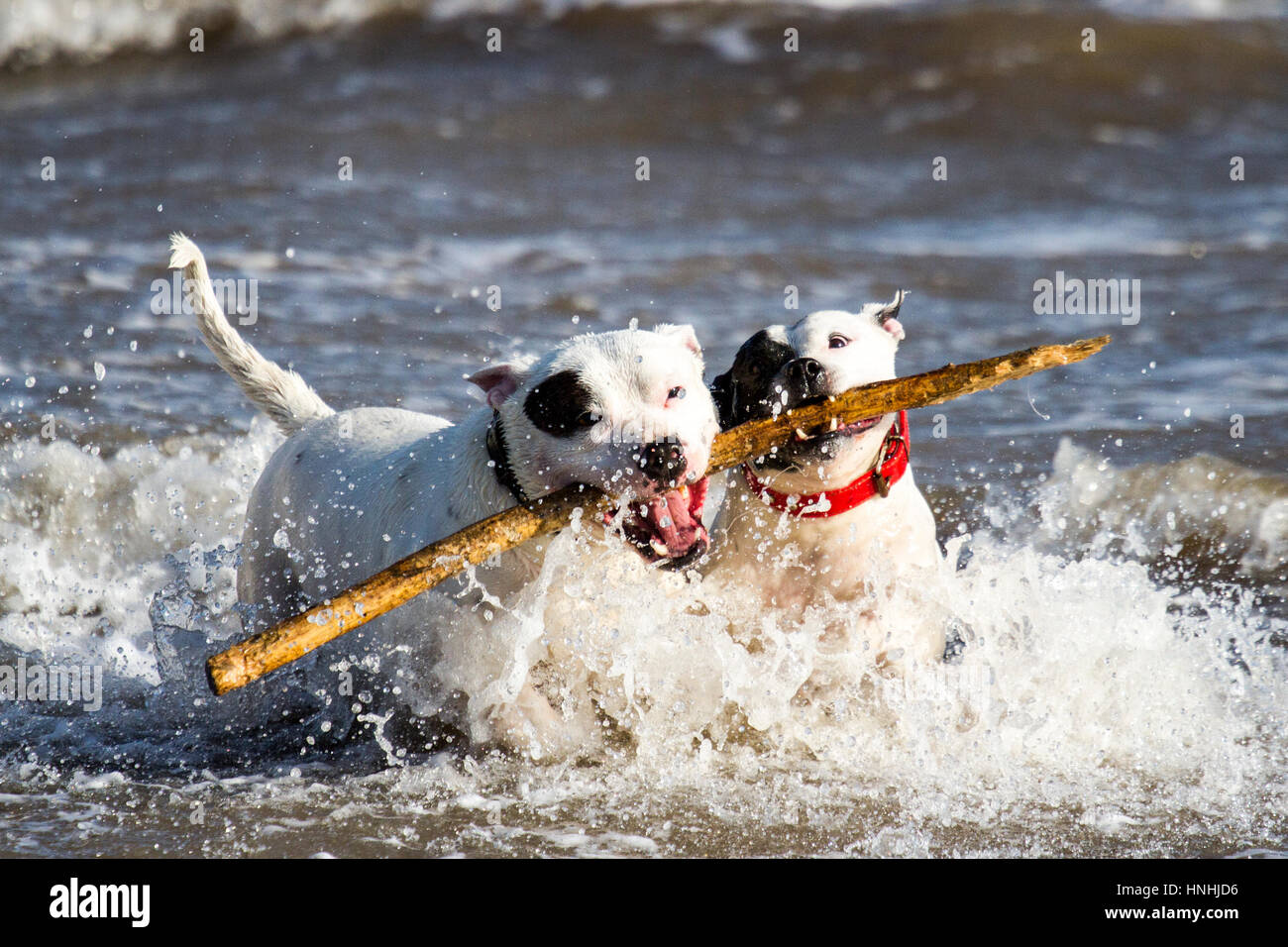 Spring Weather, New Brighton, Cheshire, UK.  13th Feb 2017.  Staffies 'Blue', 'Cloud' & 'Smog' - Stock Image