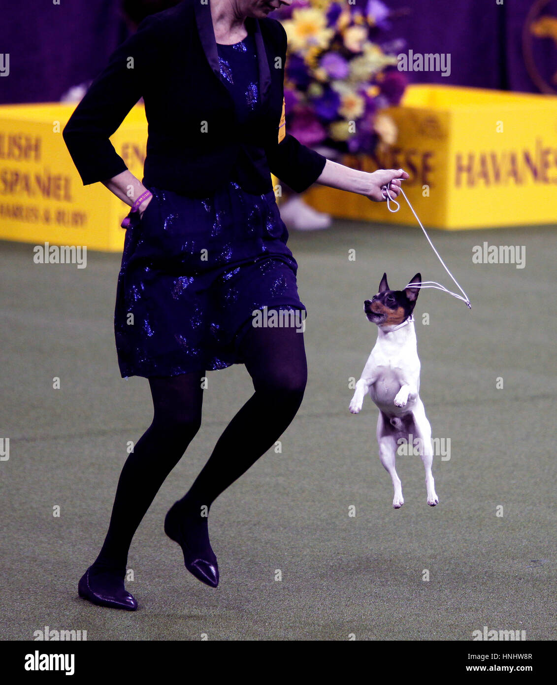 'Louie' a Toy Fox Terrier jumps excitedly while competing in the Toy Division at the 141st Annual Westminster - Stock Image
