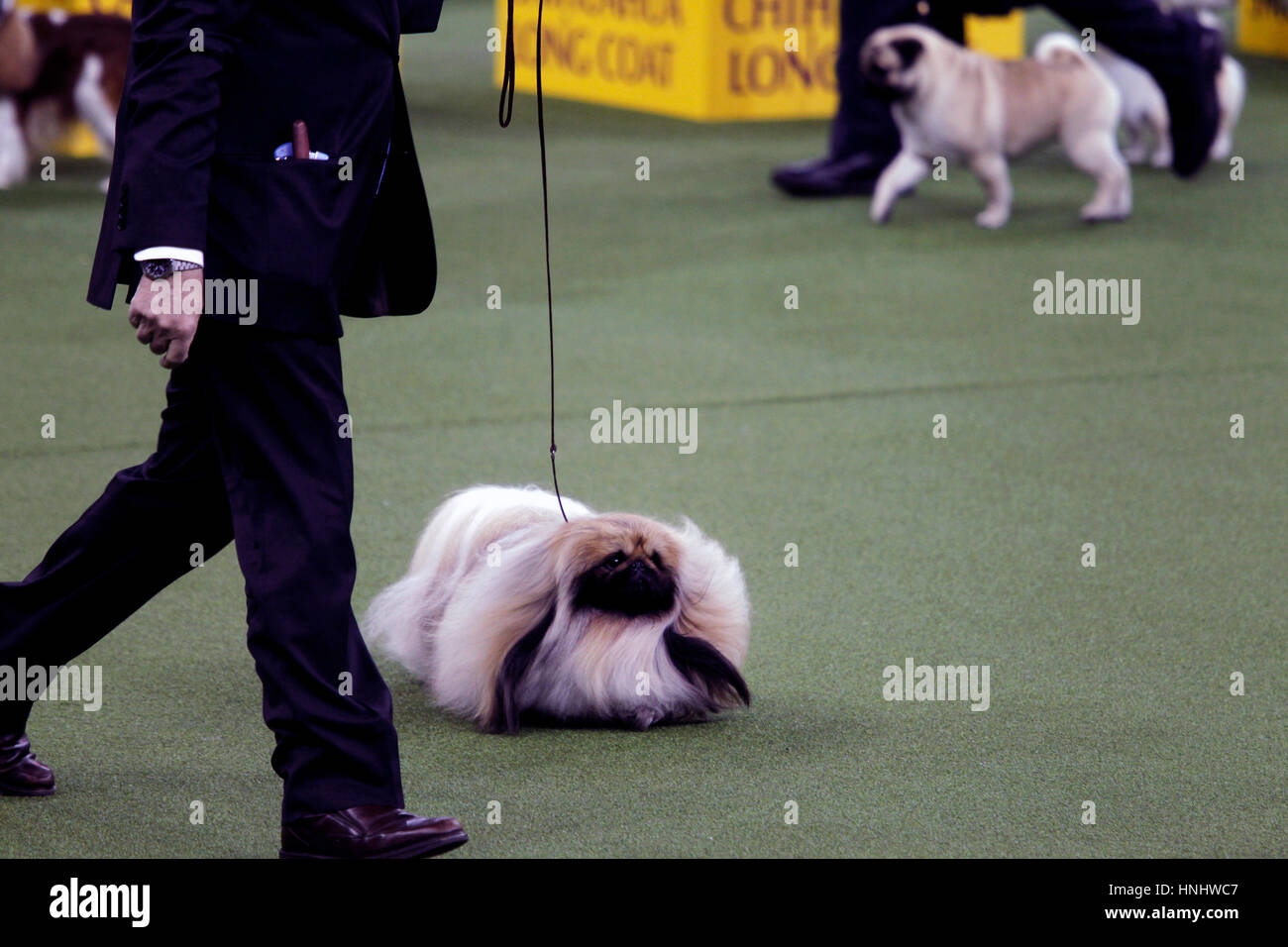 New York City, 13th February 2017. 'Chuckie' a Pekingese who won the Toy Division at the 141st Annual Westminster - Stock Image