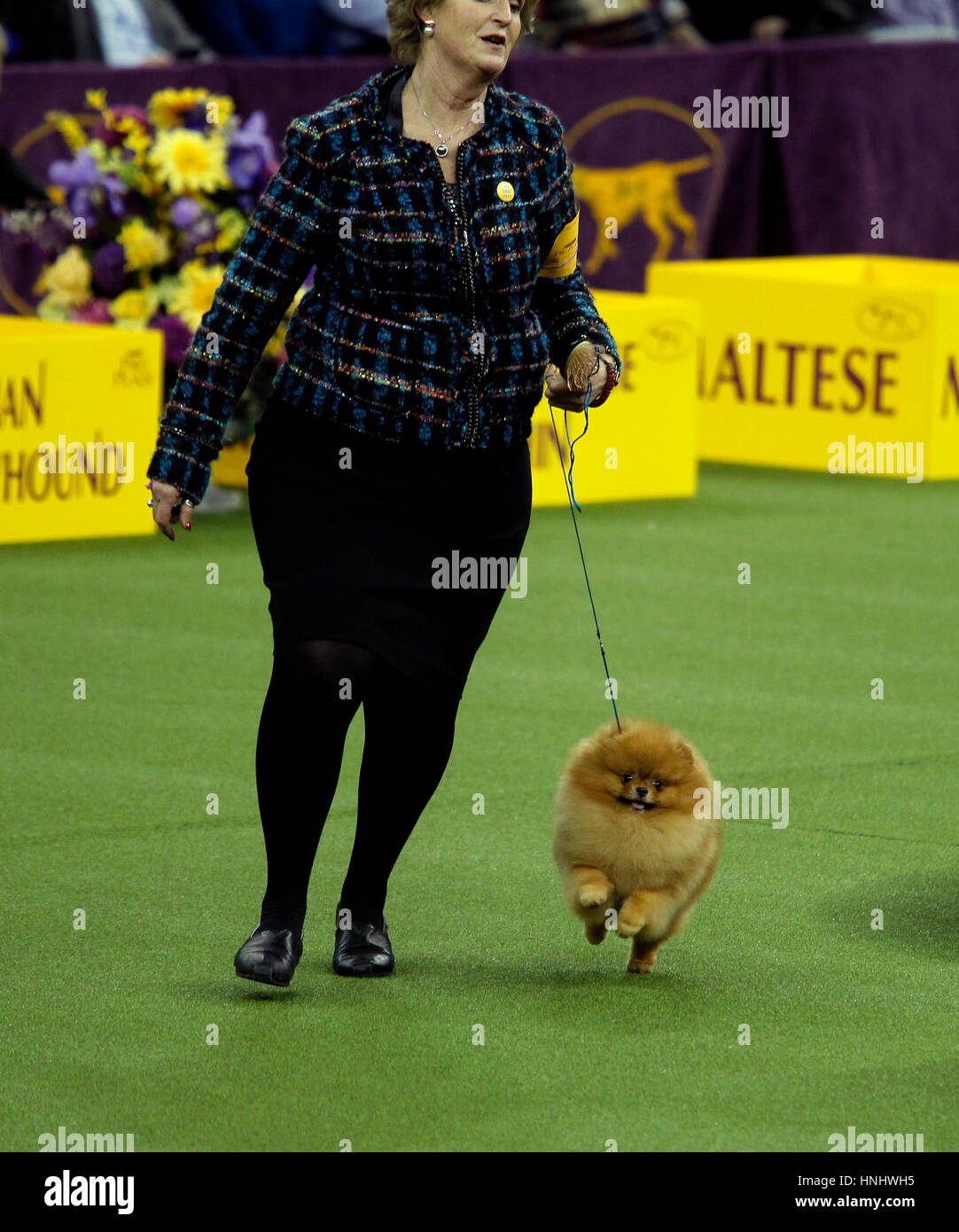 New York City, 13th February 2017. 'Max', a Pomeranian competing in the Toy Division at the 141st Annual - Stock Image