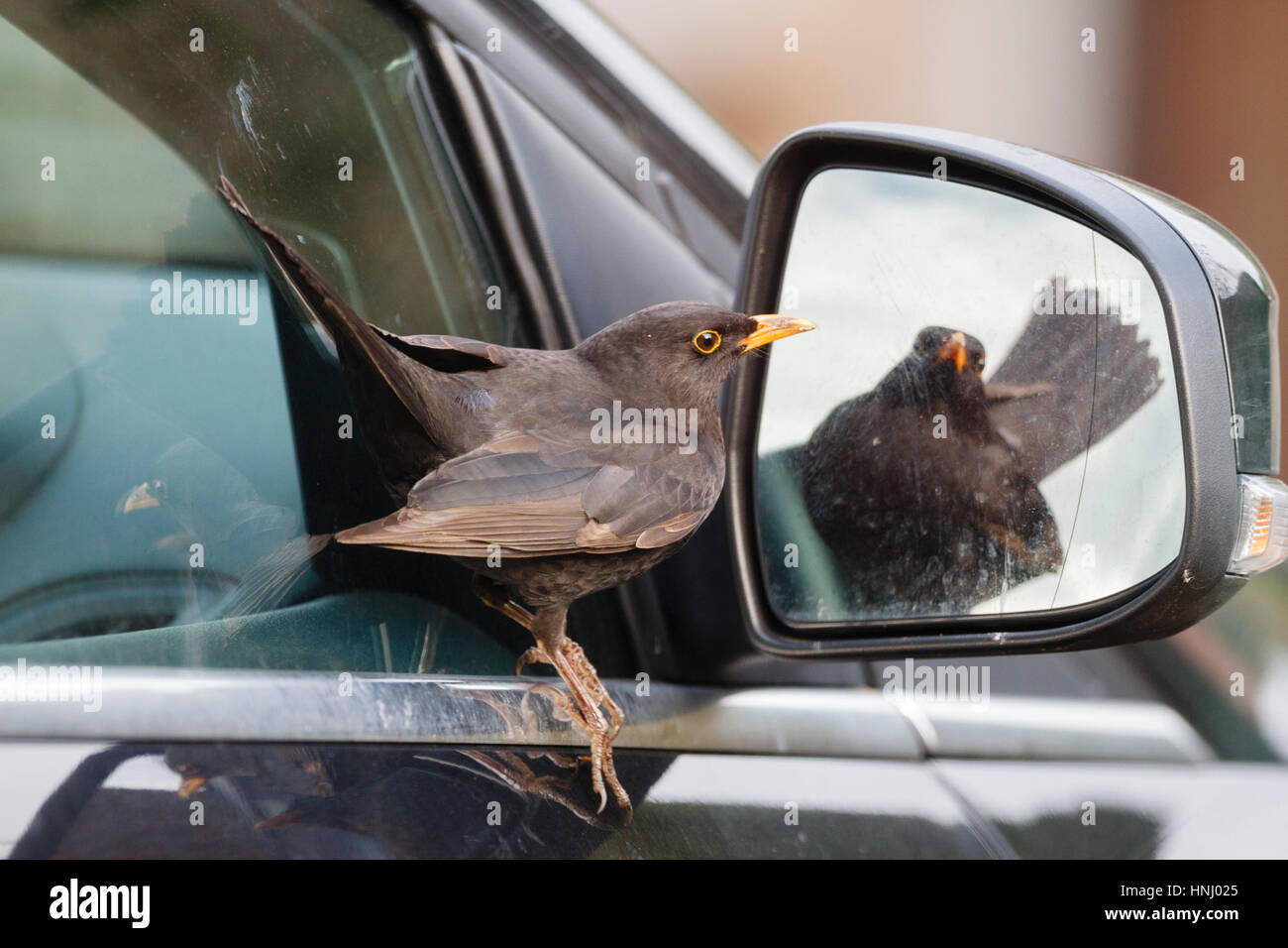 14th Feb 2017. This male Blackbird (Turdus merula) was spotted attacking  its own reflection in a car wing mirror Stock Photo