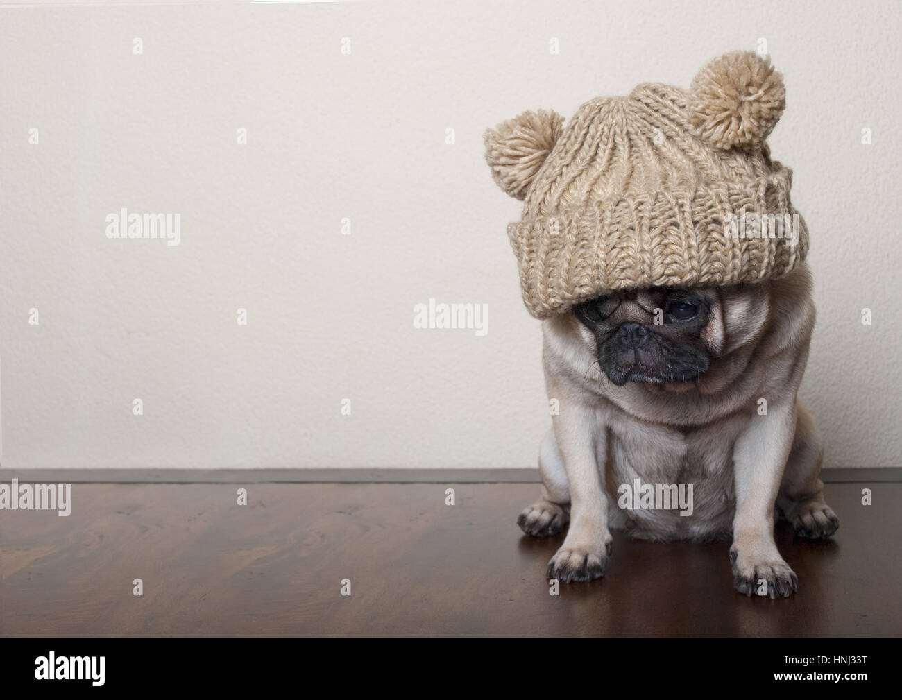 cute little pitiful sad pug puppy dog, sitting down on wooden floor Stock Photo