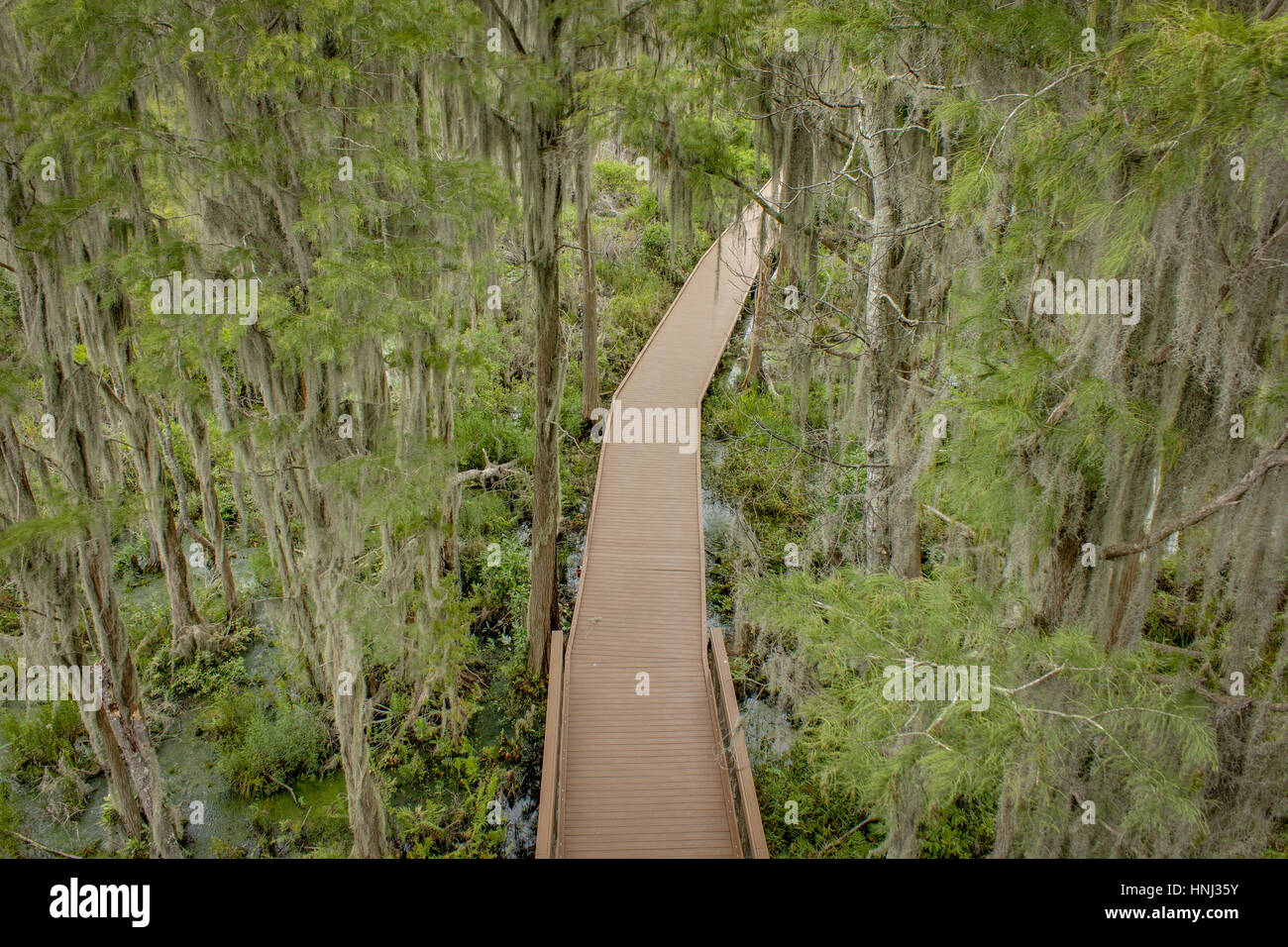 Spanish Moss Trees over the Boardwalk in the Okefenokee Swamp. - Stock Image