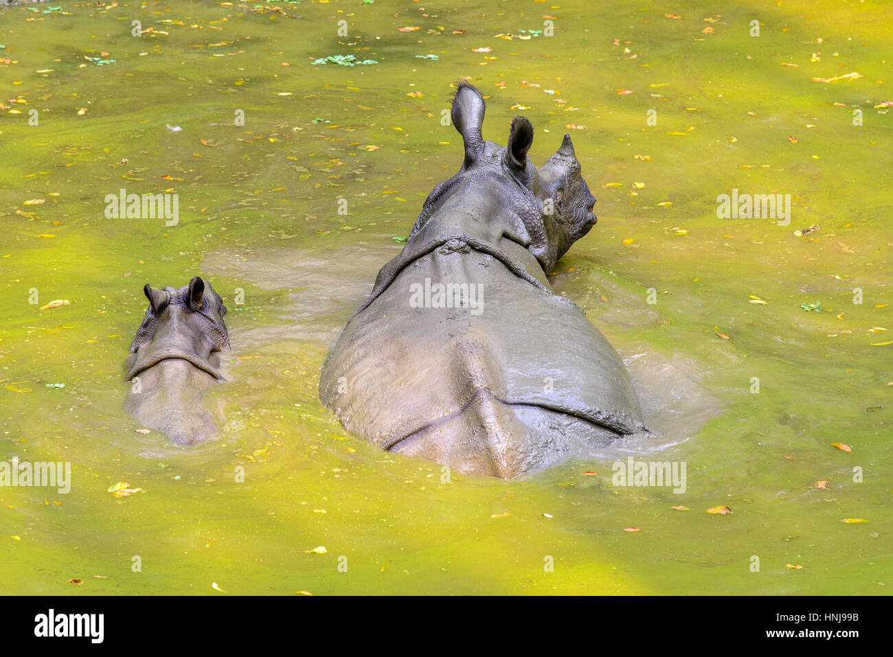 Rhinoceros with young in Chitwan Nationalpark, Nepal - Stock Image