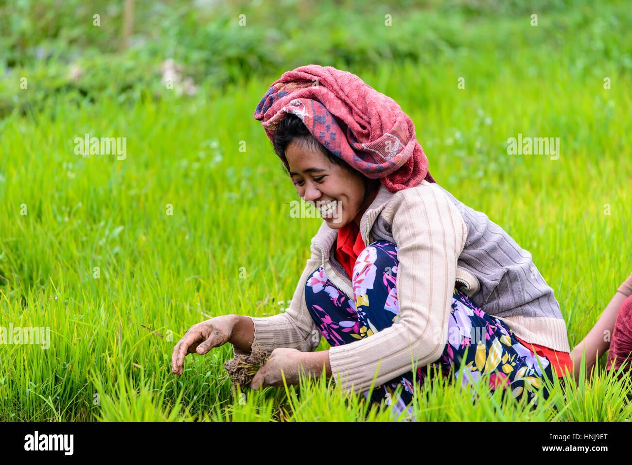 TETEBATU, INDONESIA - SEPTEMBER 10, 2014: Indonesian farmer planting rice saplings - Stock Image
