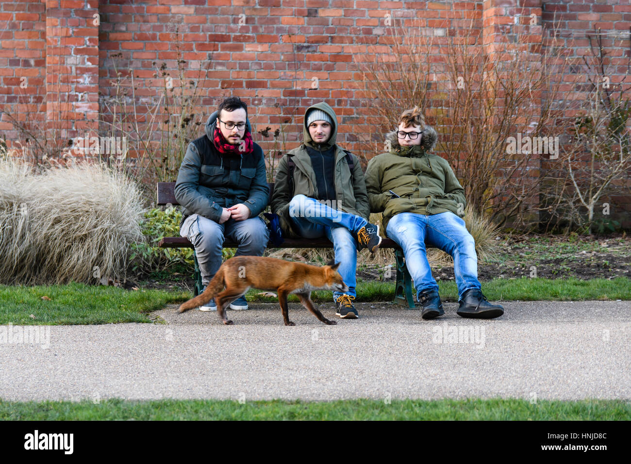 Lame fox (Vulpes vulpes) approaching people in daylight. Hungry animal seeks food from people during afternoon, - Stock Image