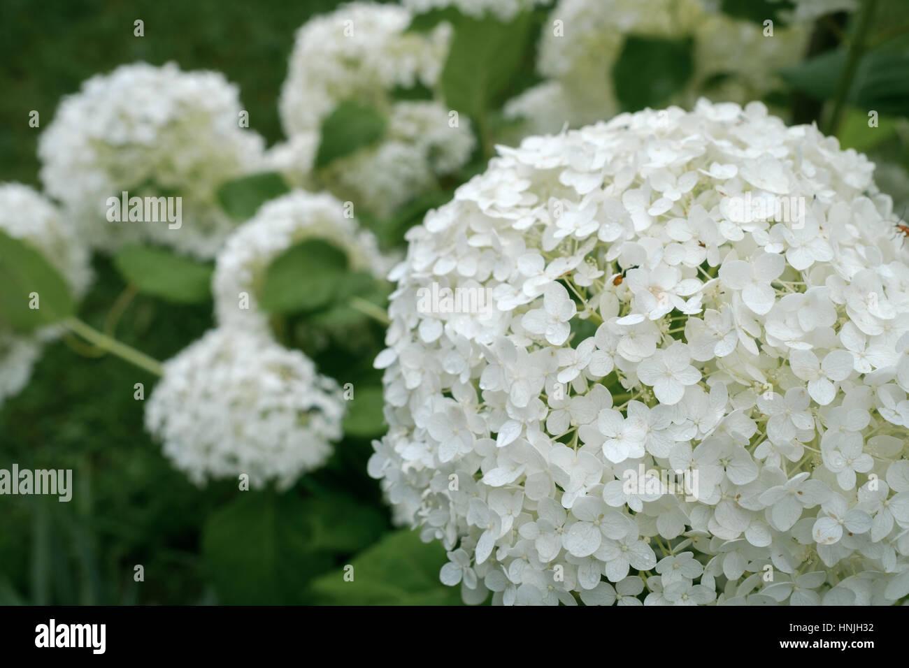 White Hydrangea Arborescens Annabelle Flower