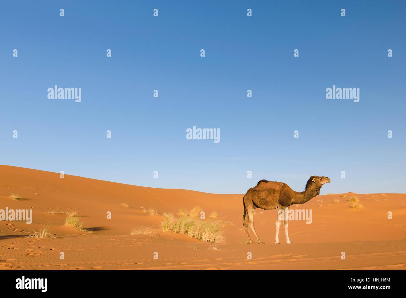 Dromedary in the desert Erg Chebbi, Morocco - Stock Image