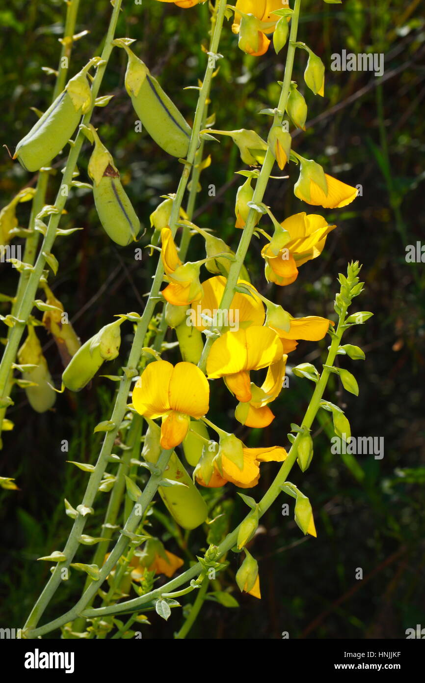 Close up of showy rattlebox flowers, Crotalaria spectabilis, growing along a roadside. - Stock Image