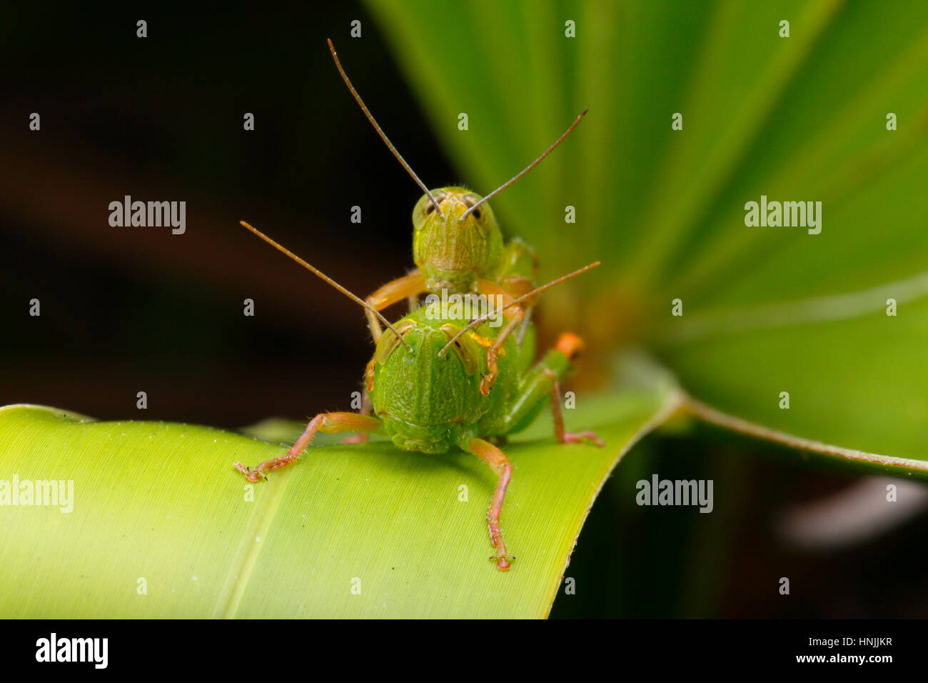 A pair of wingless grasshoppers, Aptenopedes aptera, courting on a palm frond. - Stock Image