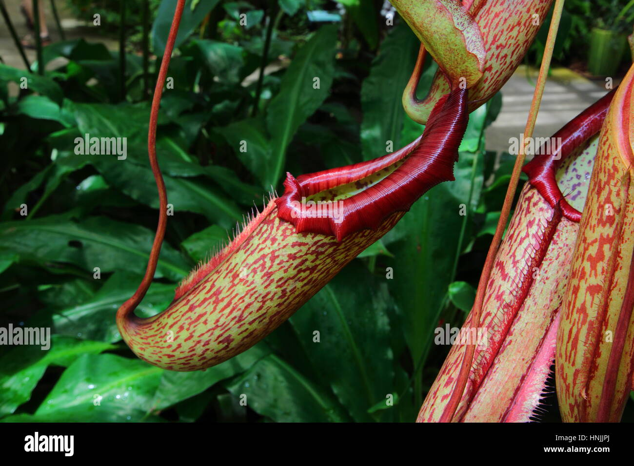 Close up of a tropical species of pitcher plant. - Stock Image