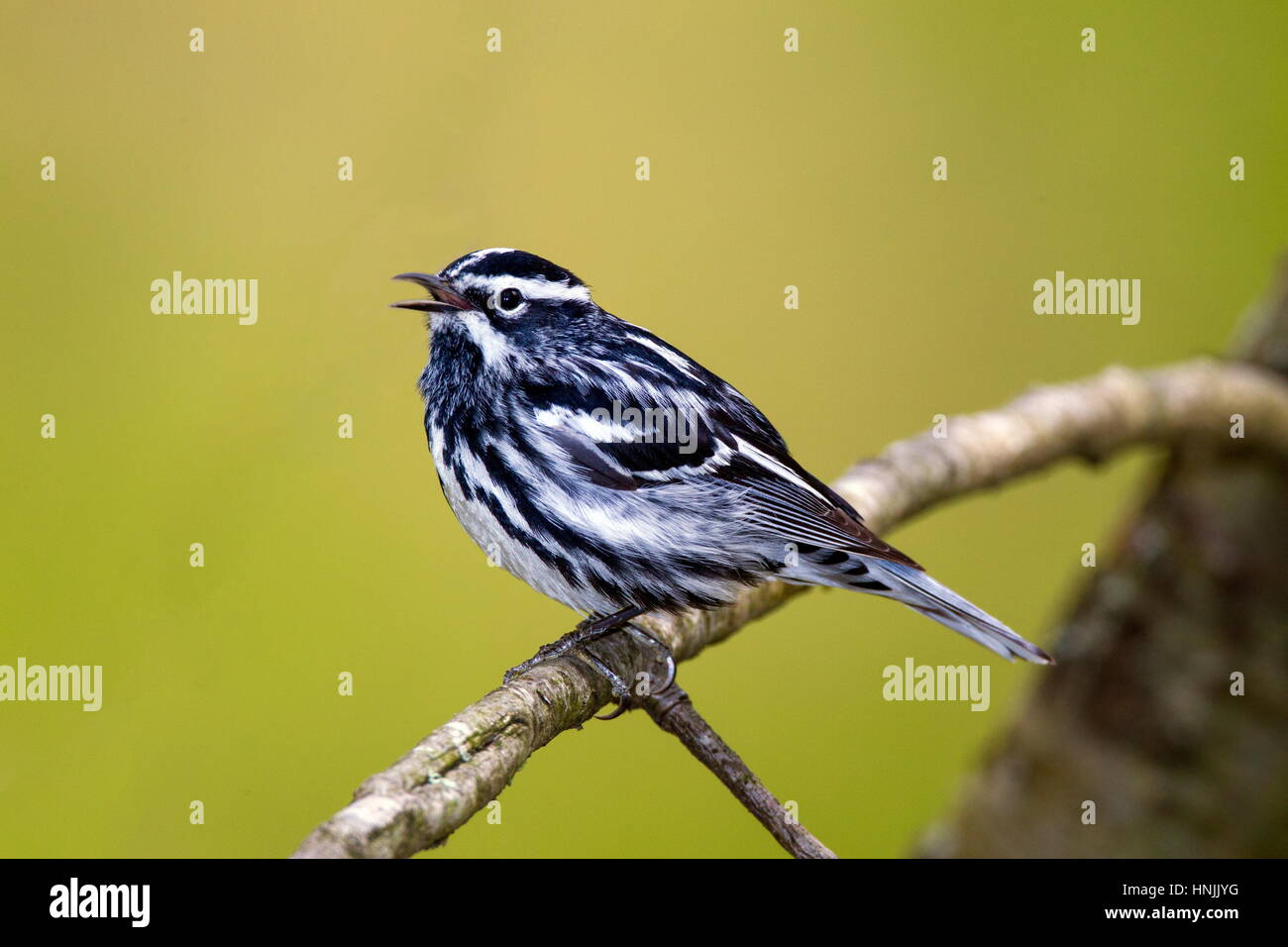 A male black and white warbler, Mniotilta varia, singing a territorial song. Stock Photo