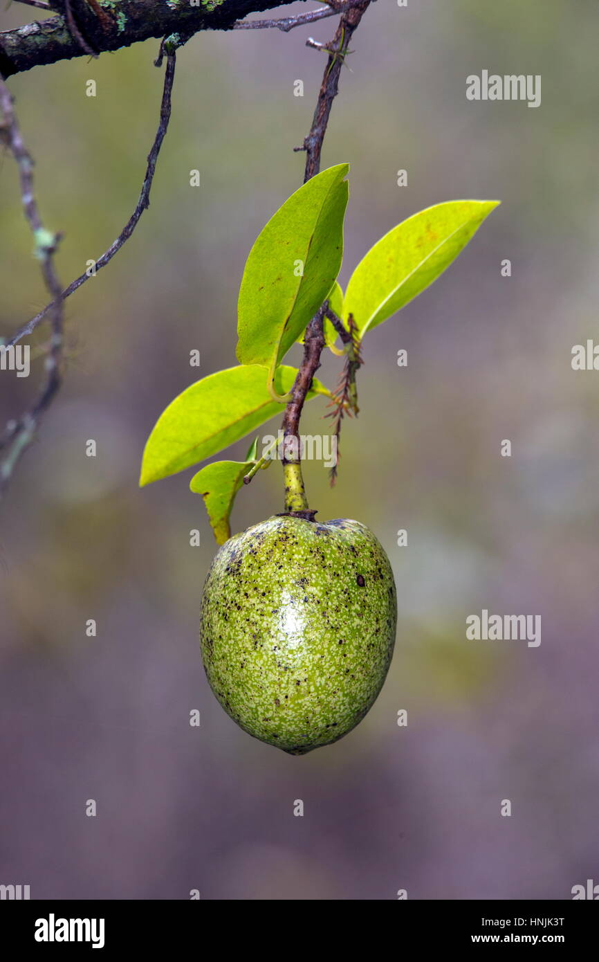 A pond apple, Annona glabra, hanging over a slough in Florida. - Stock Image