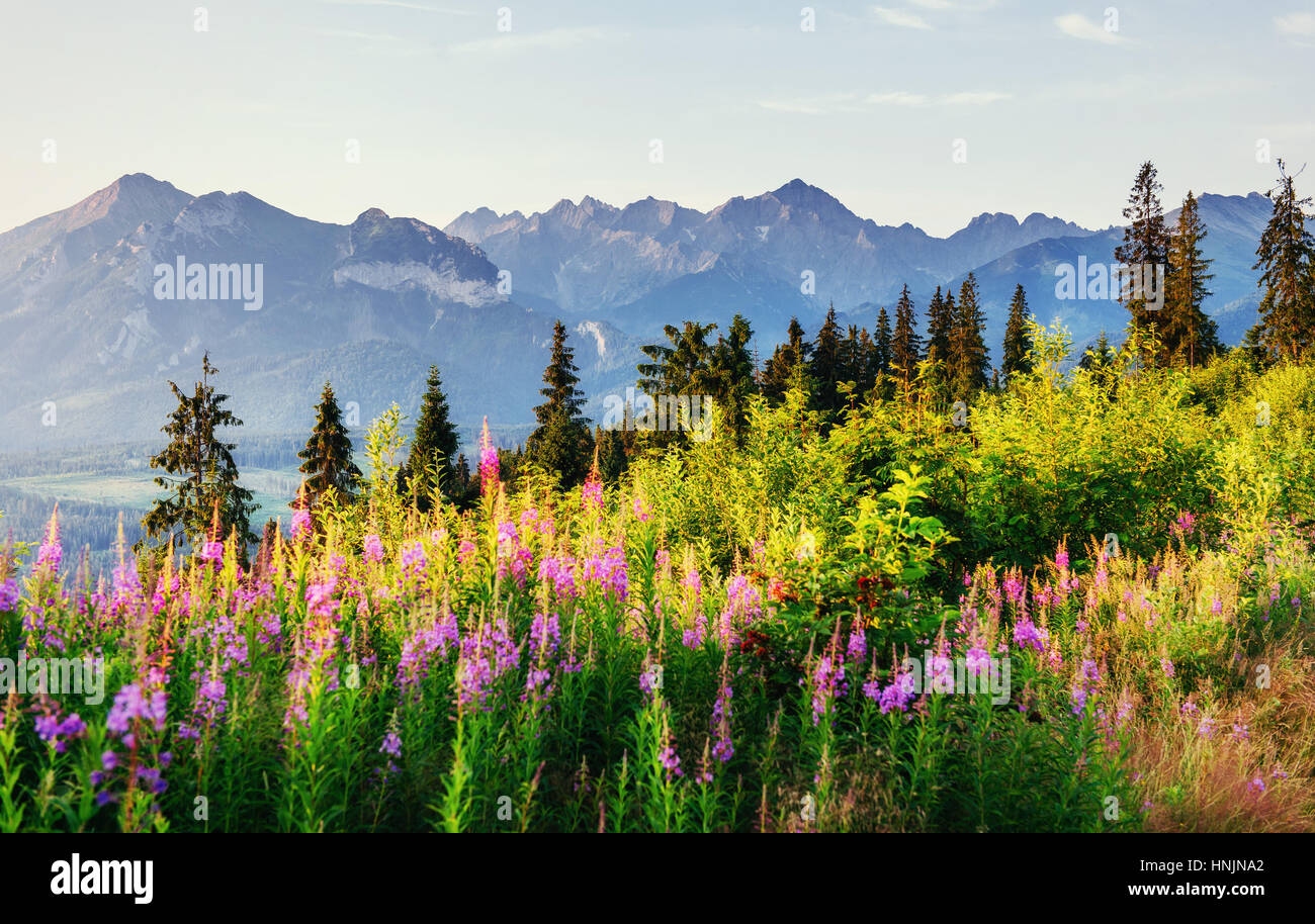 Wild flowers at sunset in the mountains. Poland. Zakopane - Stock Image