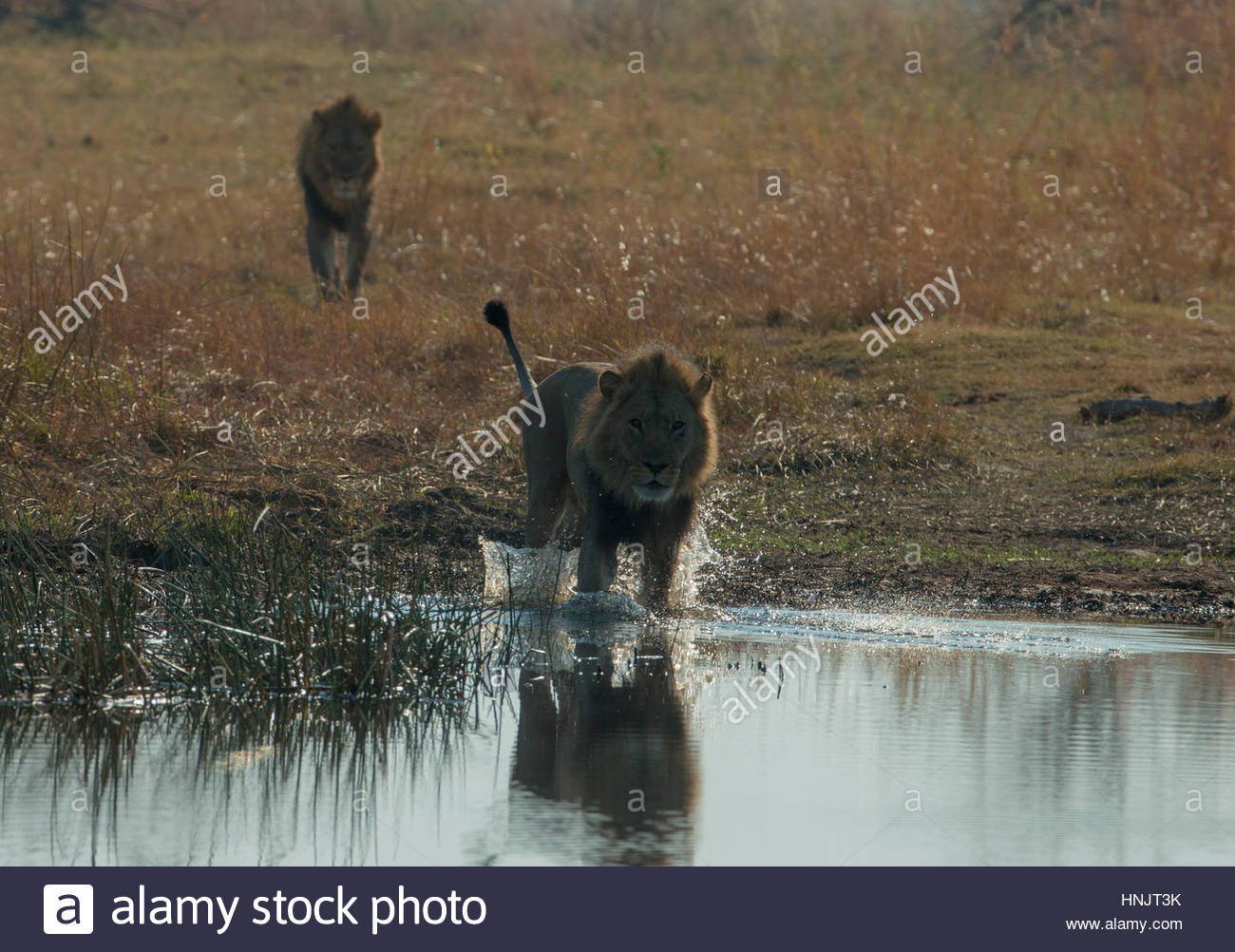 A male lion, Panthera leo, crosses a spillway. - Stock Image