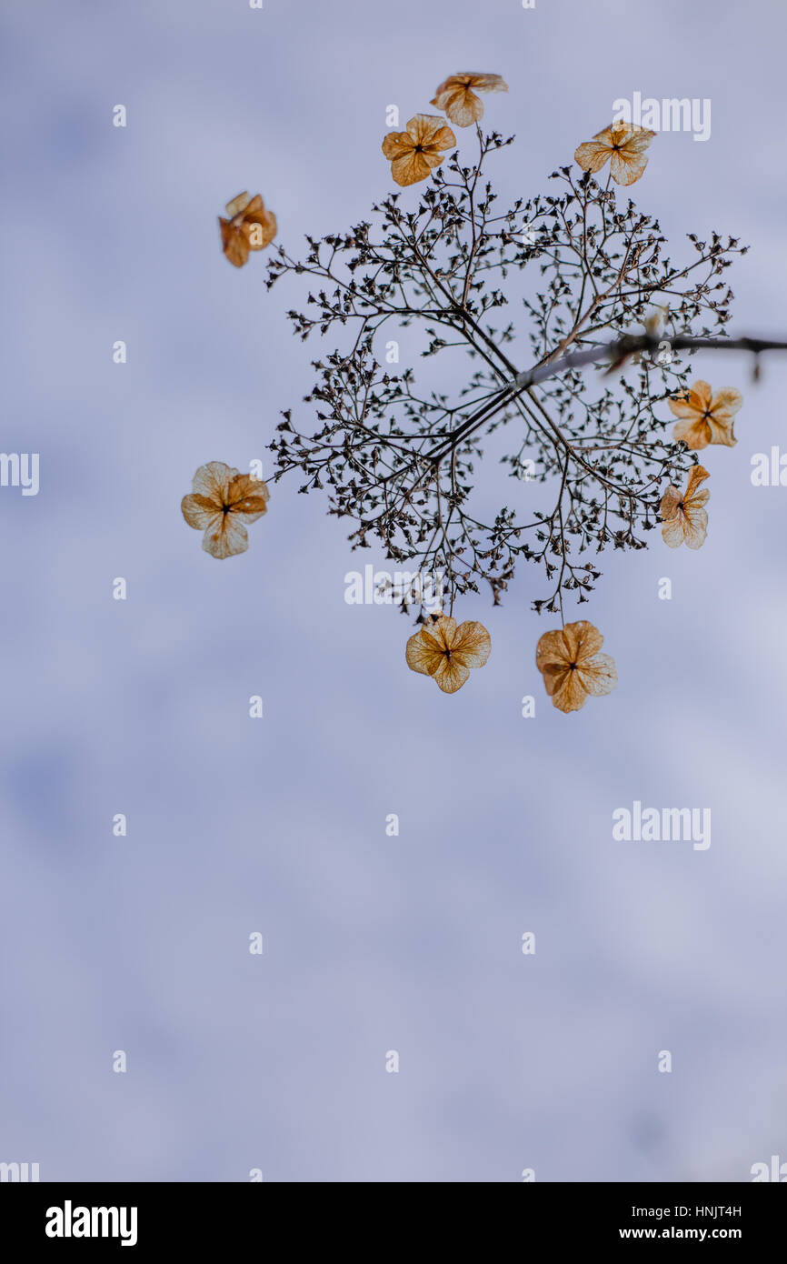 Hydrangea foliage in winter with cloudy blurred sky as background, England, UK Stock Photo