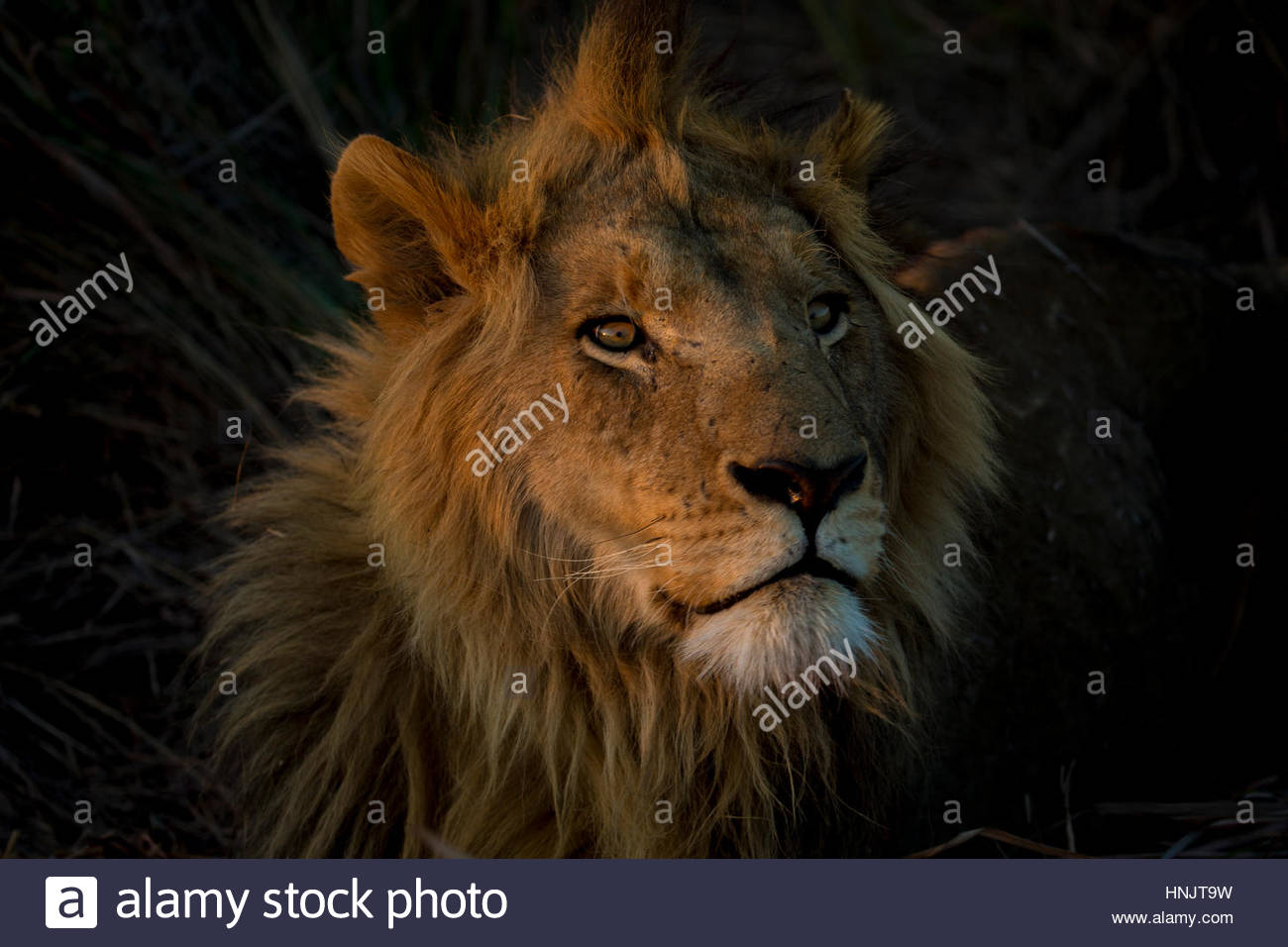 A male Lion, Panthera leo, with the light from the setting sun on his face. - Stock Image