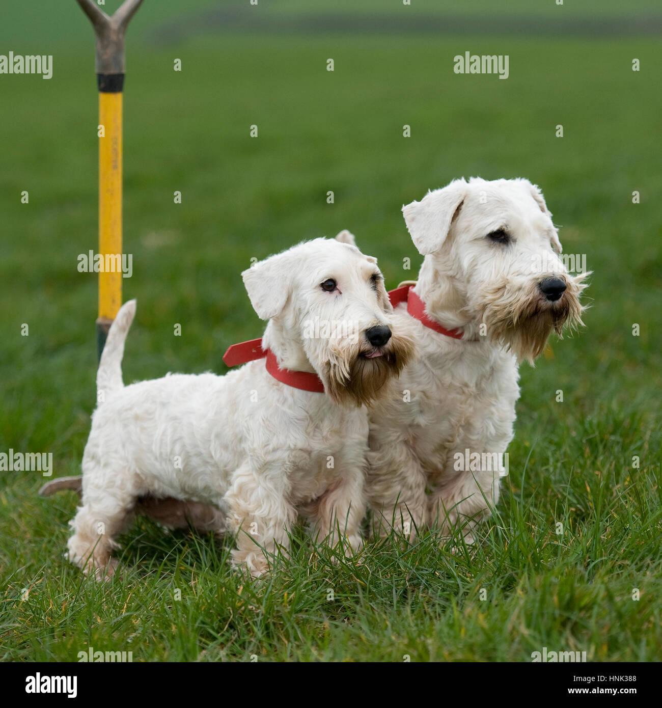 sealyham terriers - Stock Image