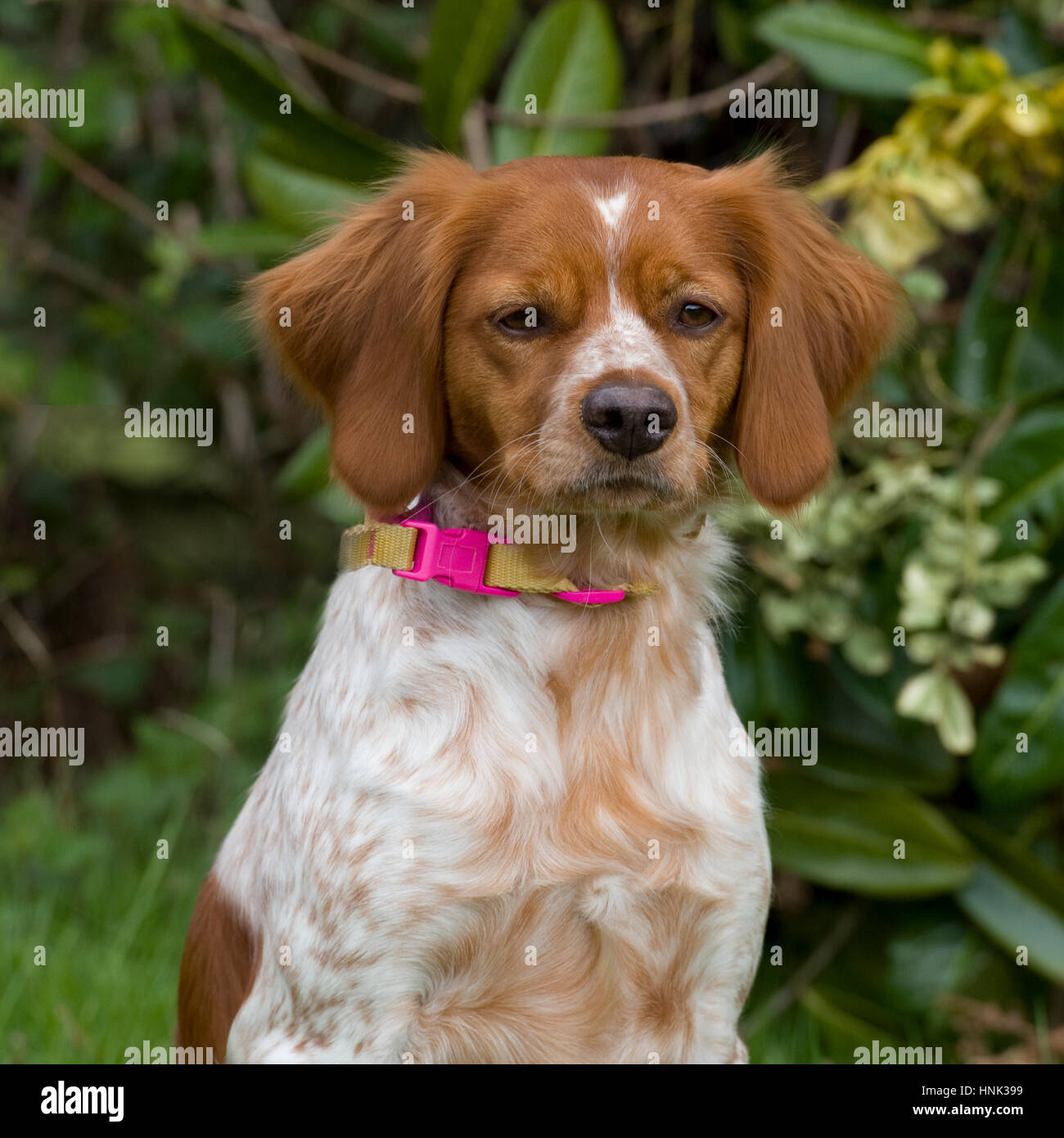 French Brittany Dog High Resolution Stock Photography And Images Alamy