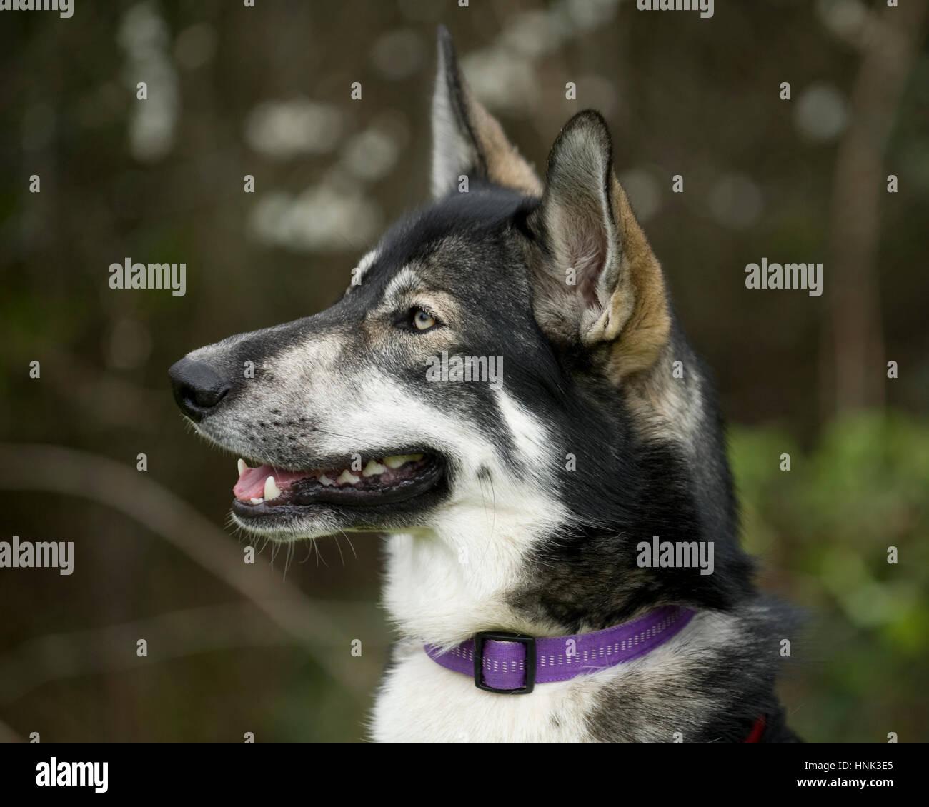 czech wolf dog - Stock Image
