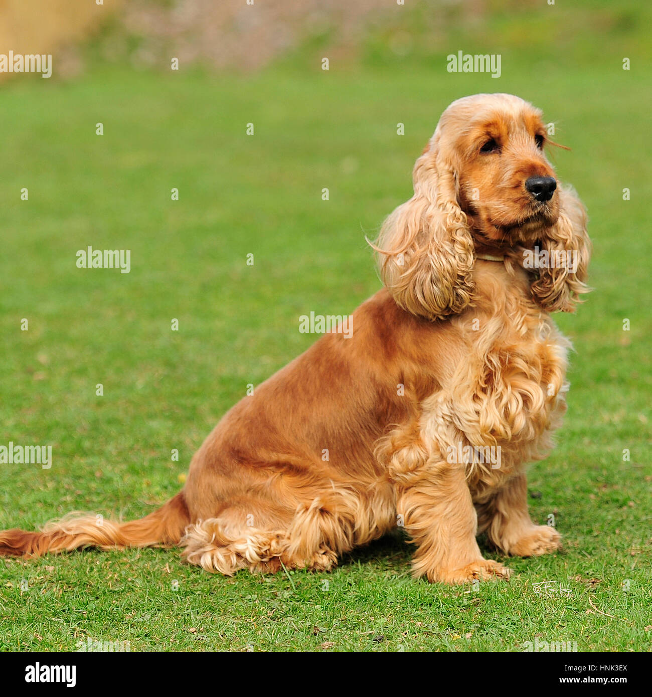 golden english cocker spaniel - Stock Image