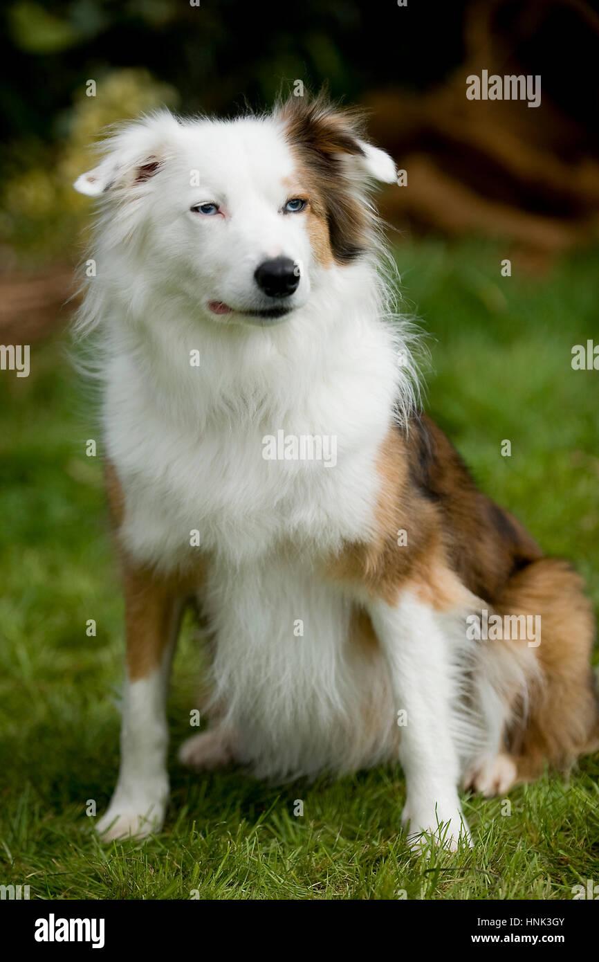 working farm sheep dog collie - Stock Image