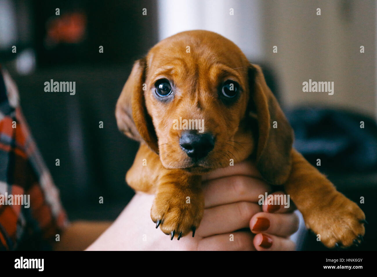 8 Weeks Old Smooth Hair Brown Dachshund Puppy Held In Hands Of Its Stock Photo Alamy