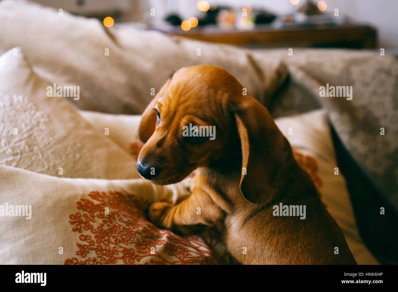 8 Weeks Old Smooth Brown Dachshund Puppy Climbing Over Cushions And A Stock Photo Alamy