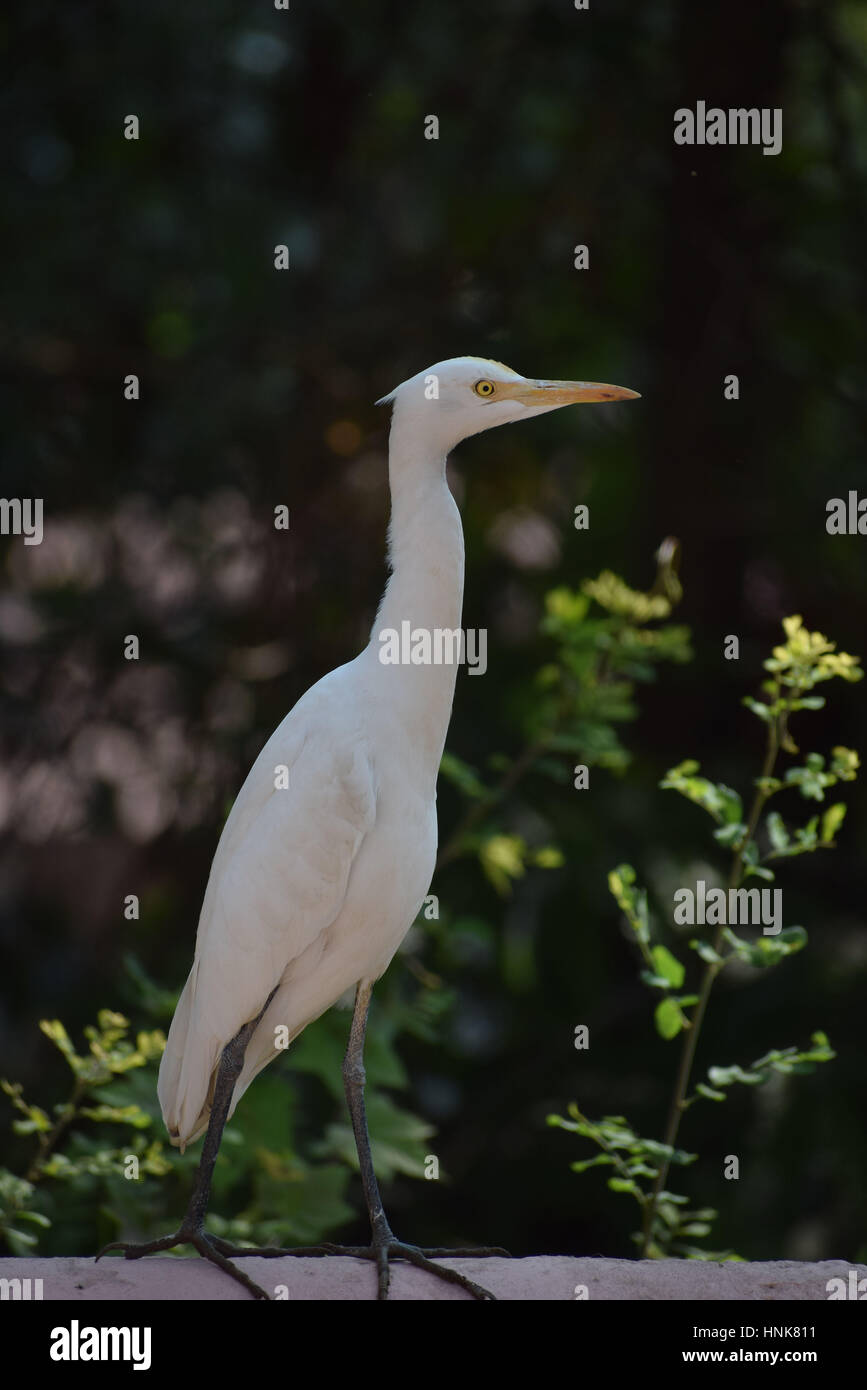 There are 19 species of storks out of which 9 species are found in India. They are migratory birds. It is a carnivorous - Stock Image