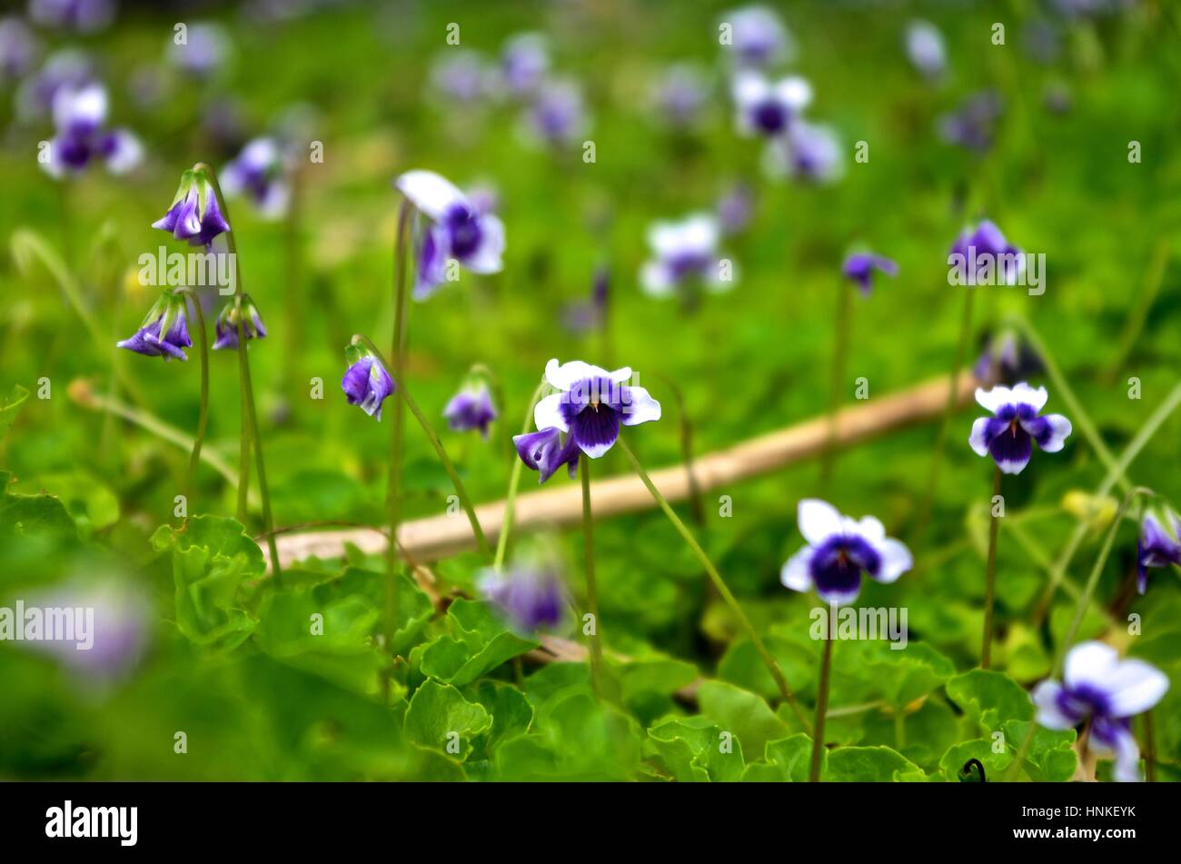 Native violet flowers which are know for cover ground flowers stock native violet flowers which are know for cover ground flowers izmirmasajfo