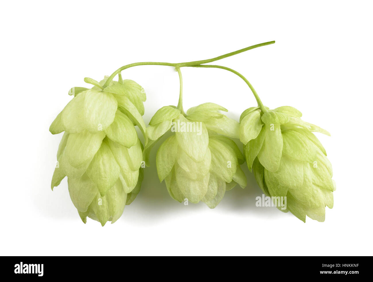 hops cones isolated on white background - Stock Image