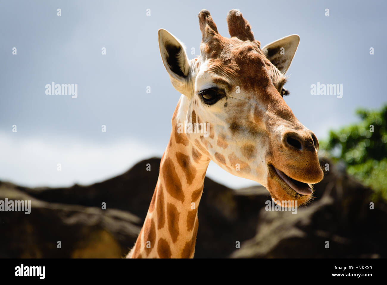 Giraffe face close-up, at Sydney zoo - Stock Image