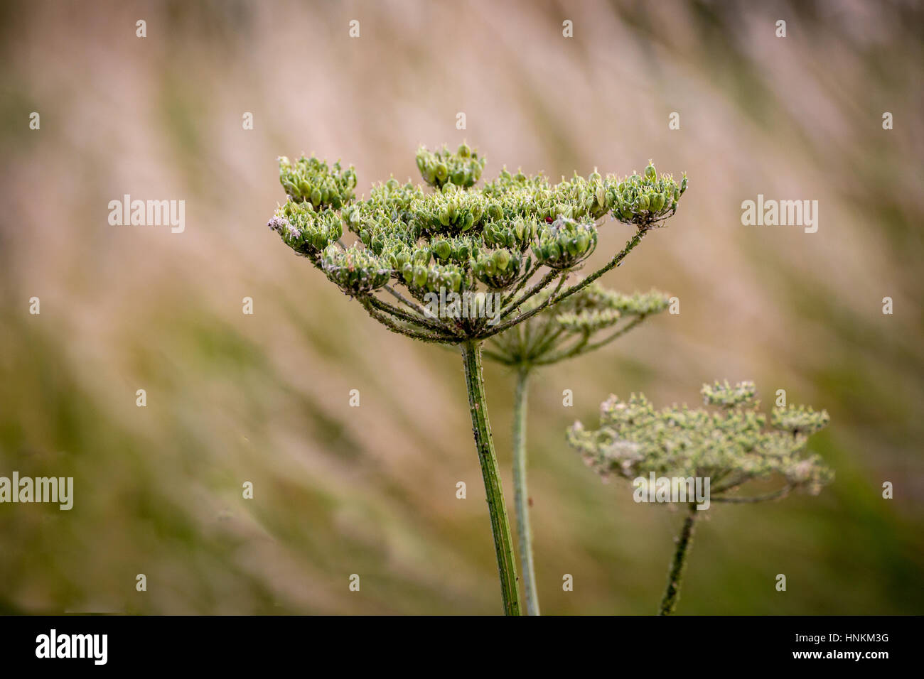 Wild flower, shows a close up of an elderflower blossom with a blurred background. - Stock Image
