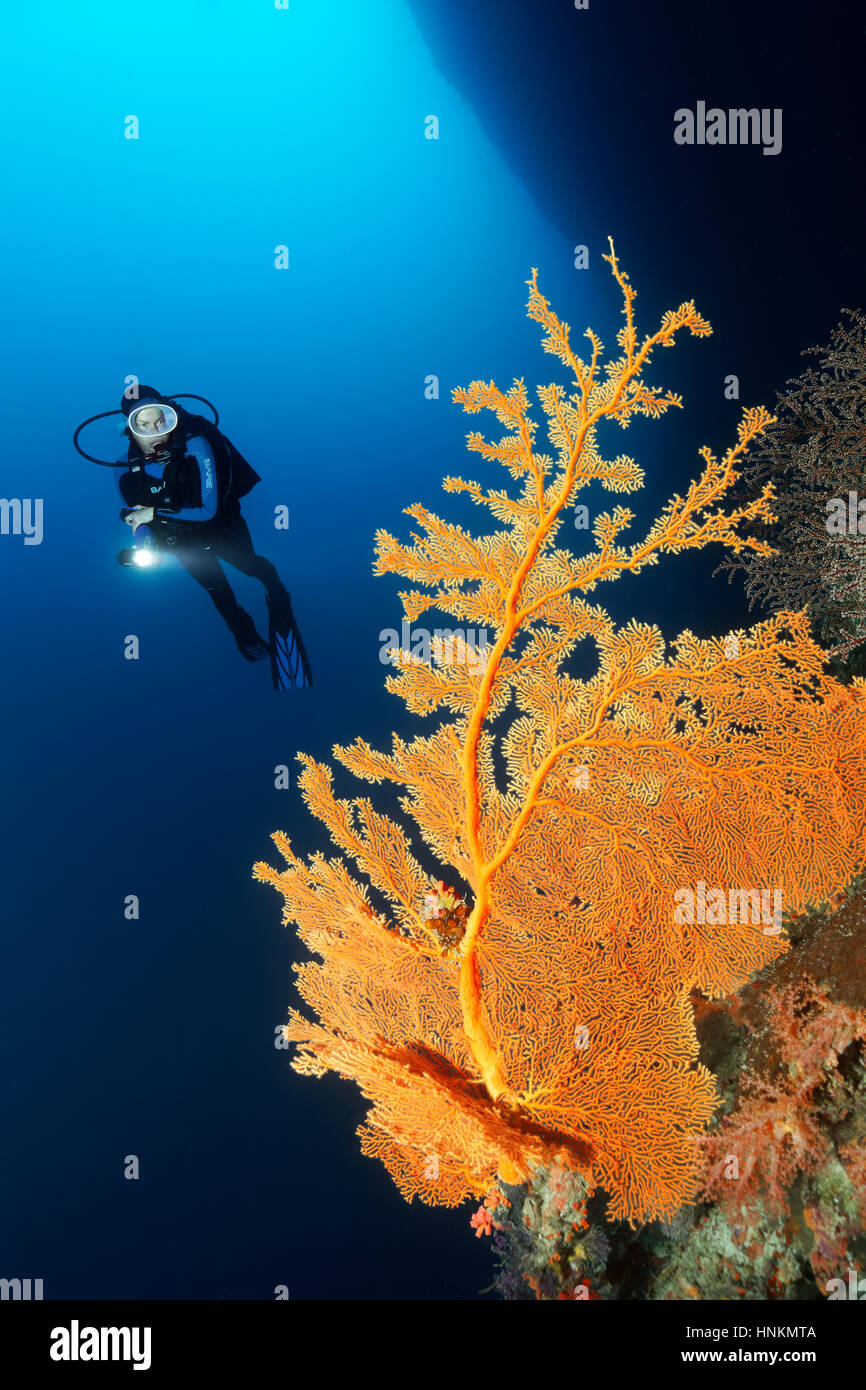 Diver, coral reef, cliff, deep diving, overhang, gorgonian (Annella mollis), Indian Ocean, Maldives - Stock Image
