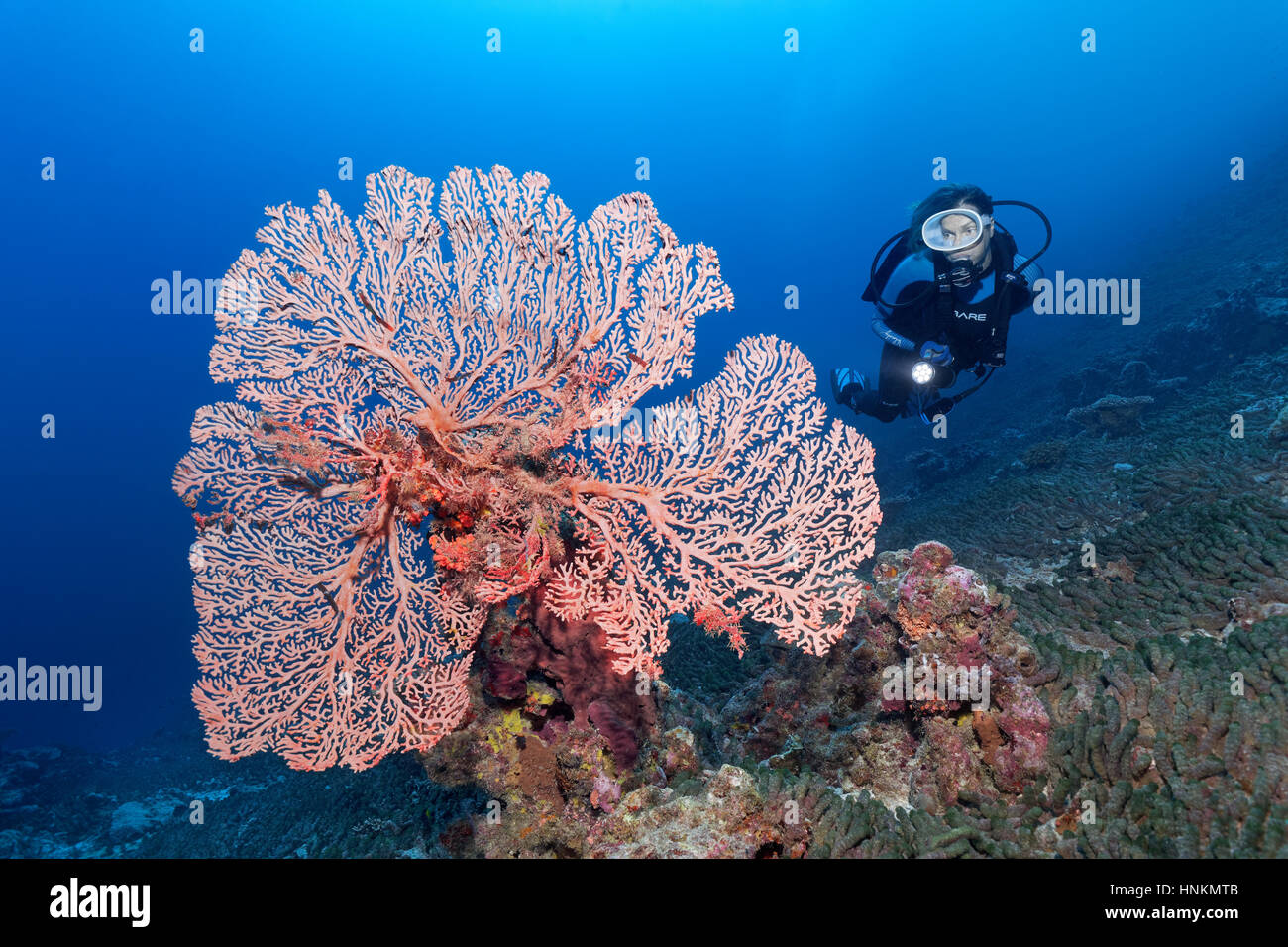 Diver, Soft Coral, indeterminate, rods, Indian Ocean, Maldives - Stock Image