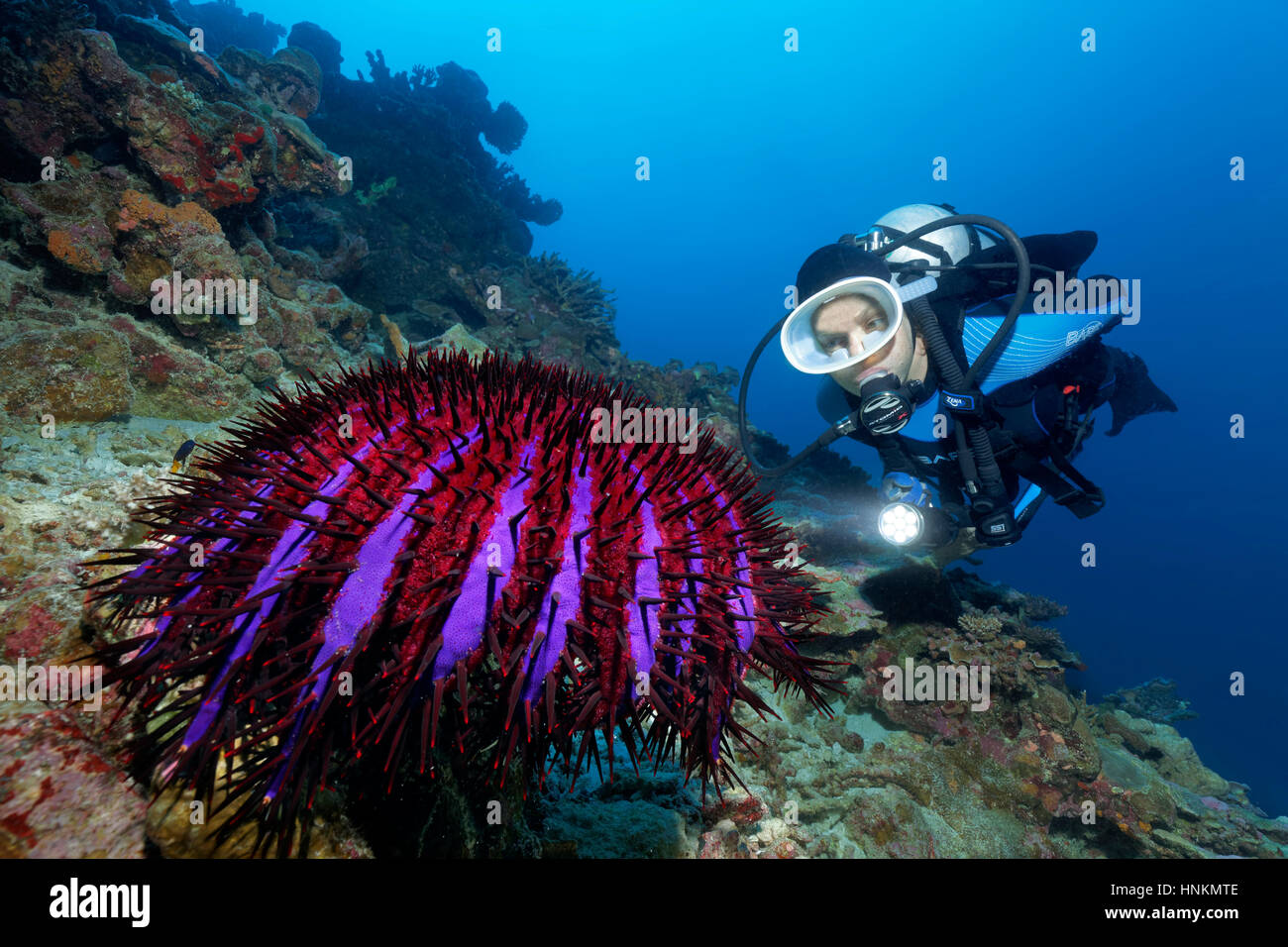 Diver, crown-of-thorns starfish (Acanthaster planci) Indian Ocean, Maldives - Stock Image