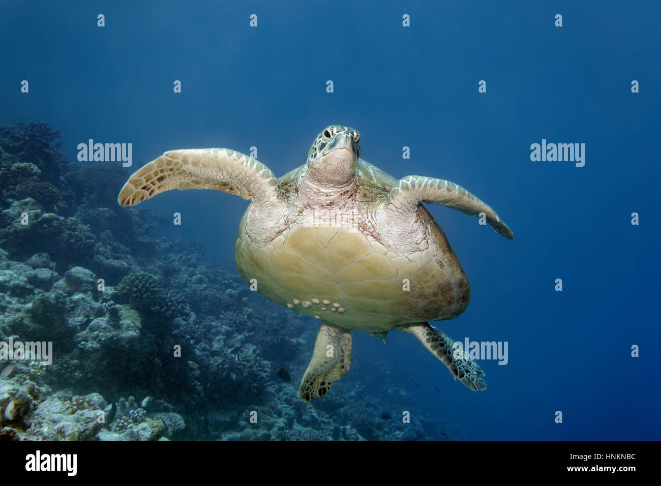 Green turtle (Chelonia mydas) with barnacles (Balanidae) swimming over coral reef, Indian Ocean, Maldives Stock Photo
