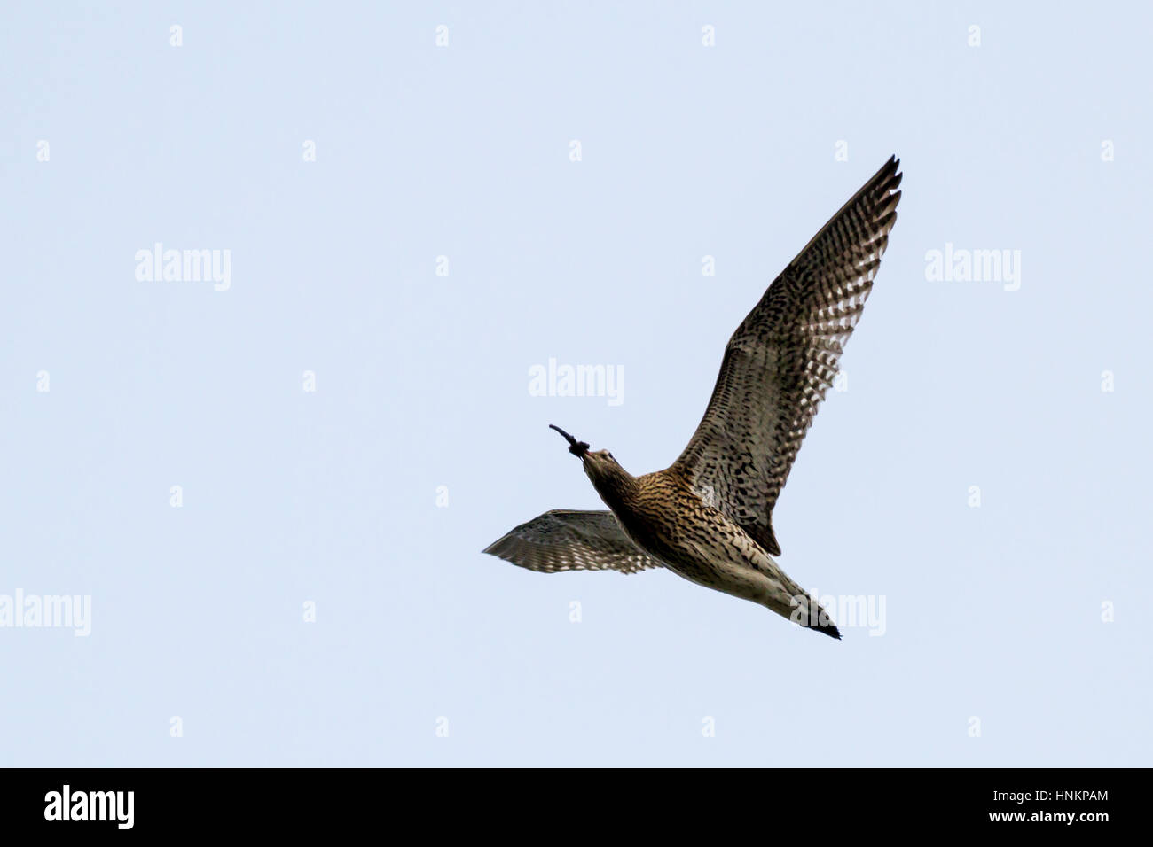 Curlew (numenius arquata in flight) flying overhead with muddy beak after digging in the earth for food, Yorkshire, Stock Photo