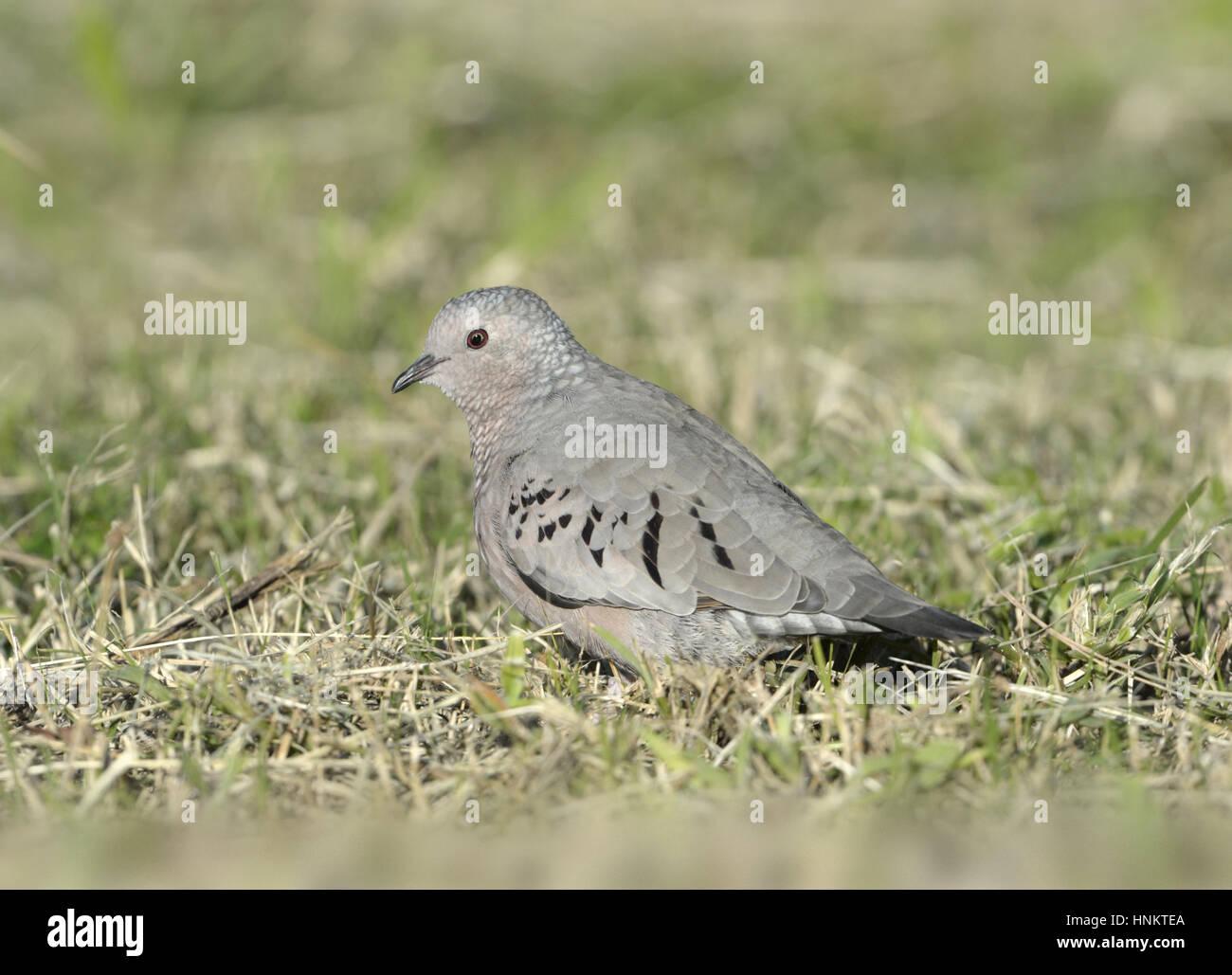 Common Ground-dove - Columbina passerina - Stock Image