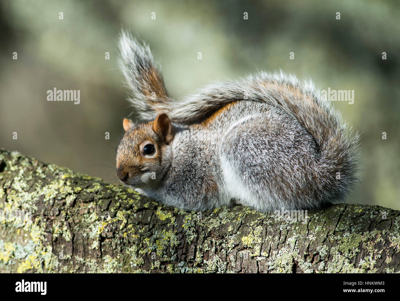Eastern grey squirrel Sciurus carolinensis resting on a branch of a tree in park. - Stock Image