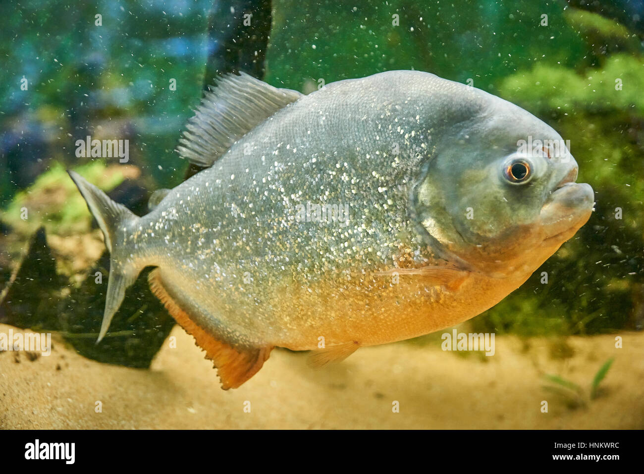 Piranha Fish Stock Photos & Piranha Fish Stock Images - Alamy