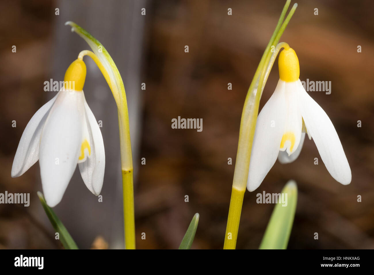 Yellow ovary and markings of the late Winter flowering snowdrop, Galanthus nivalis Sandersii Group  'Woodpeckers' - Stock Image